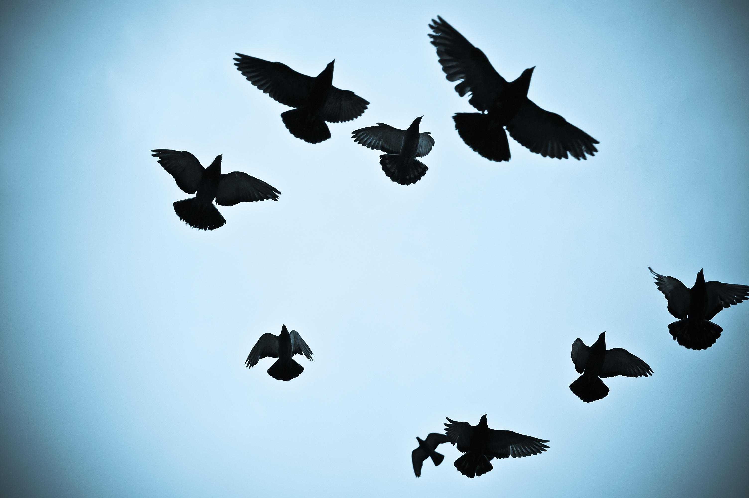 Free Images : wing, flower, airplane, flight, black, birds ...