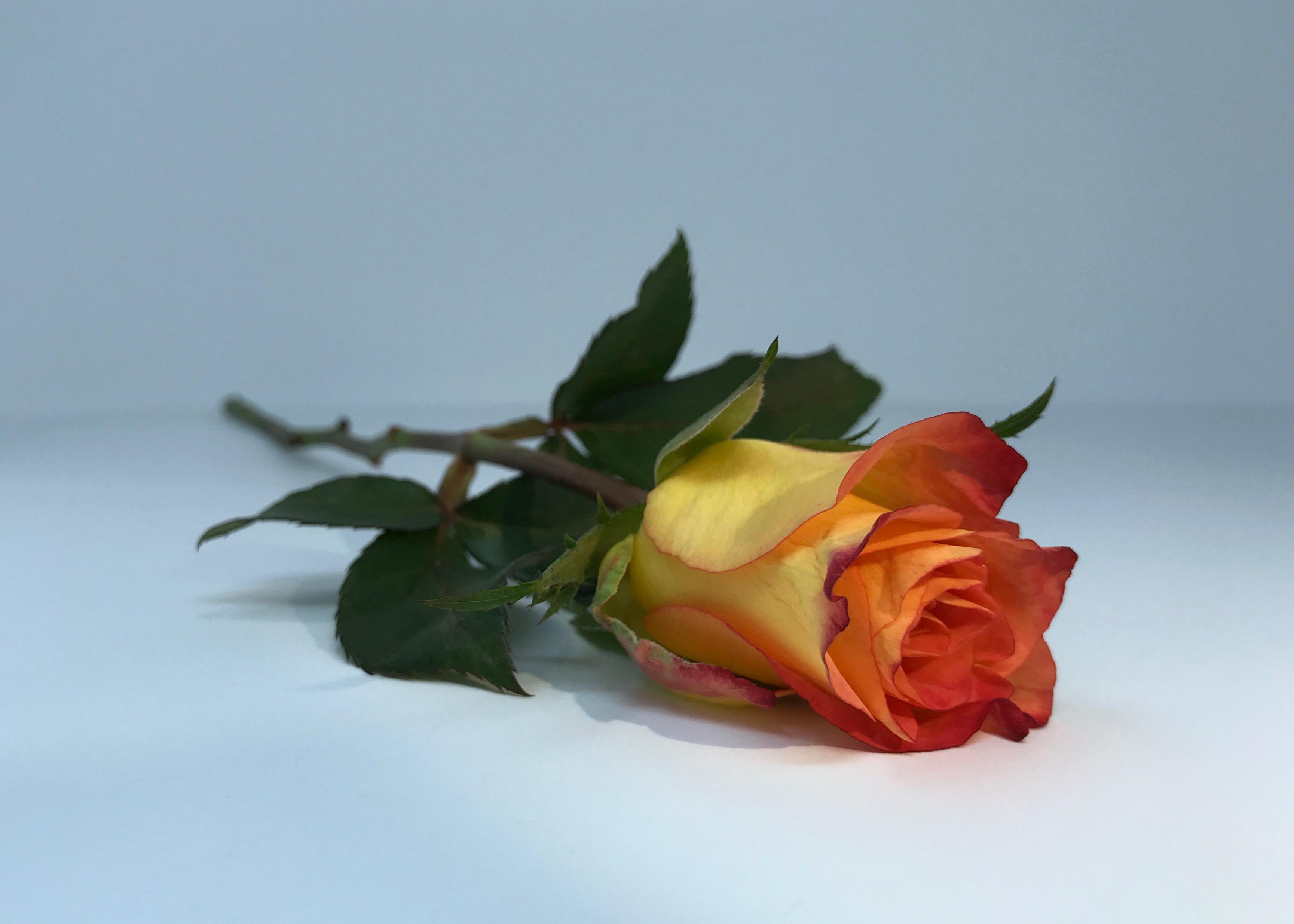 Images Gratuites Unique Multicolore Fleur Rose Famille Plante