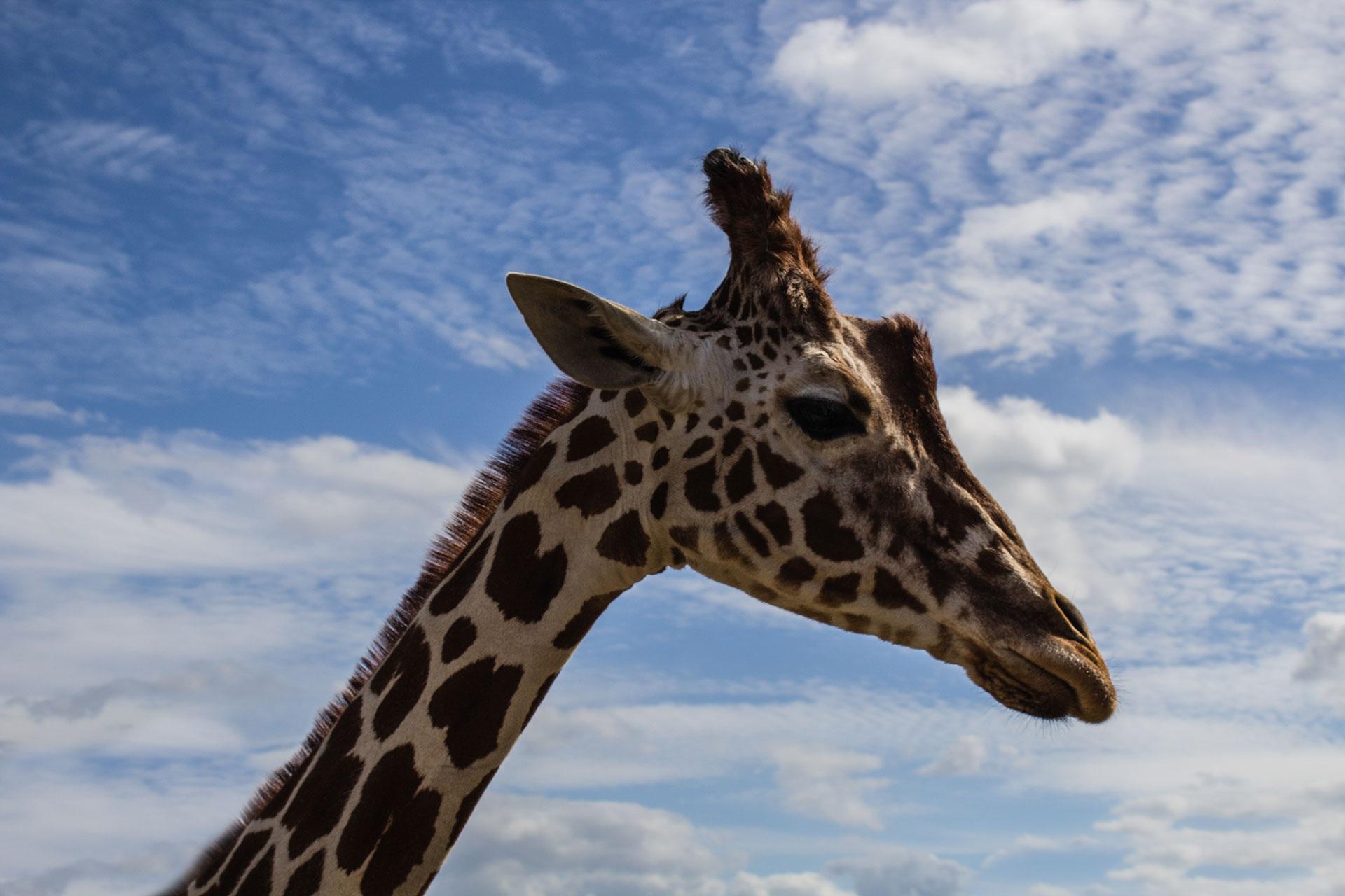 giraffen bilder kostenlos
