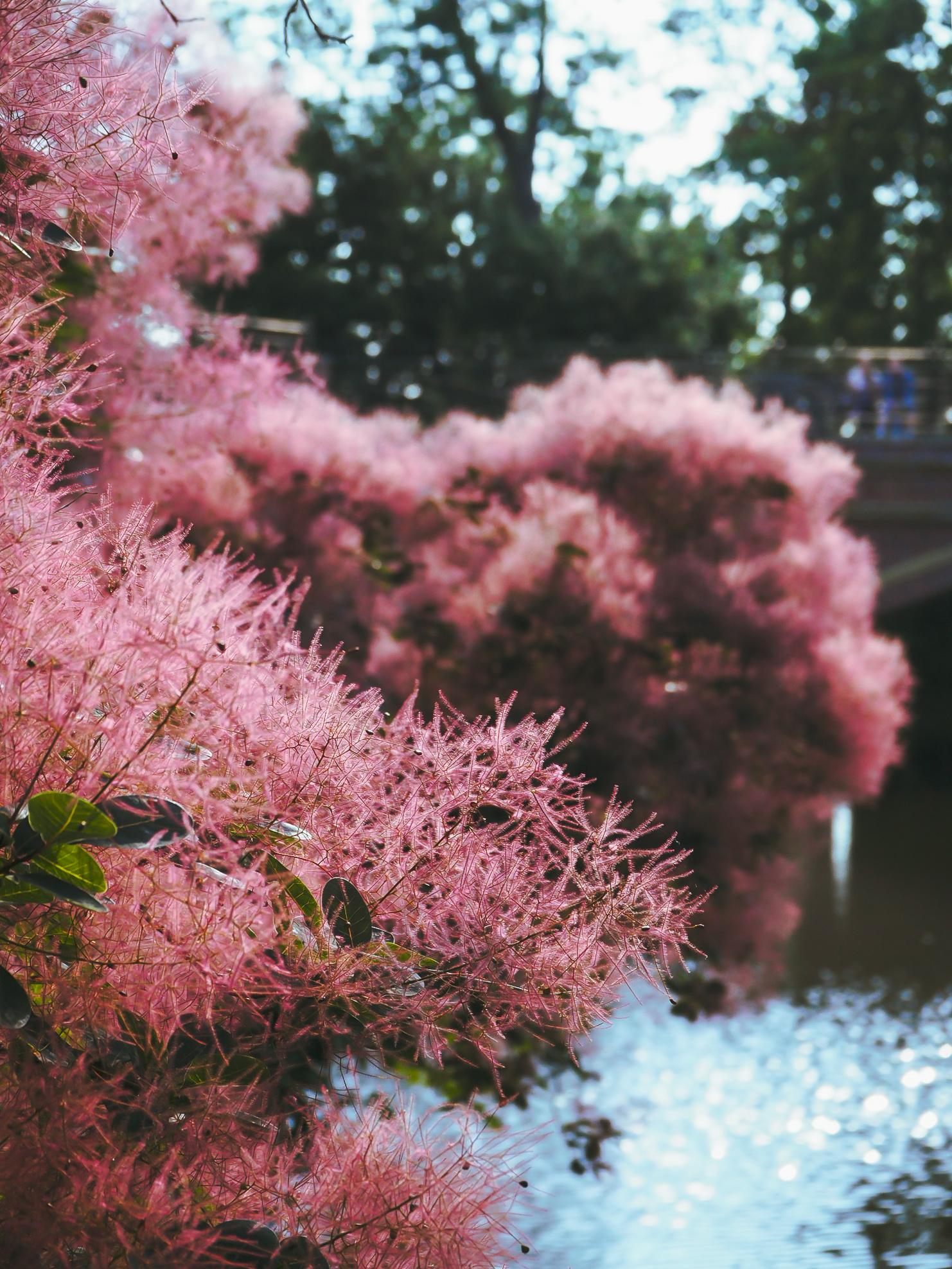 Free Images Smoke Bush Pink Flowers River Bridge Kornik