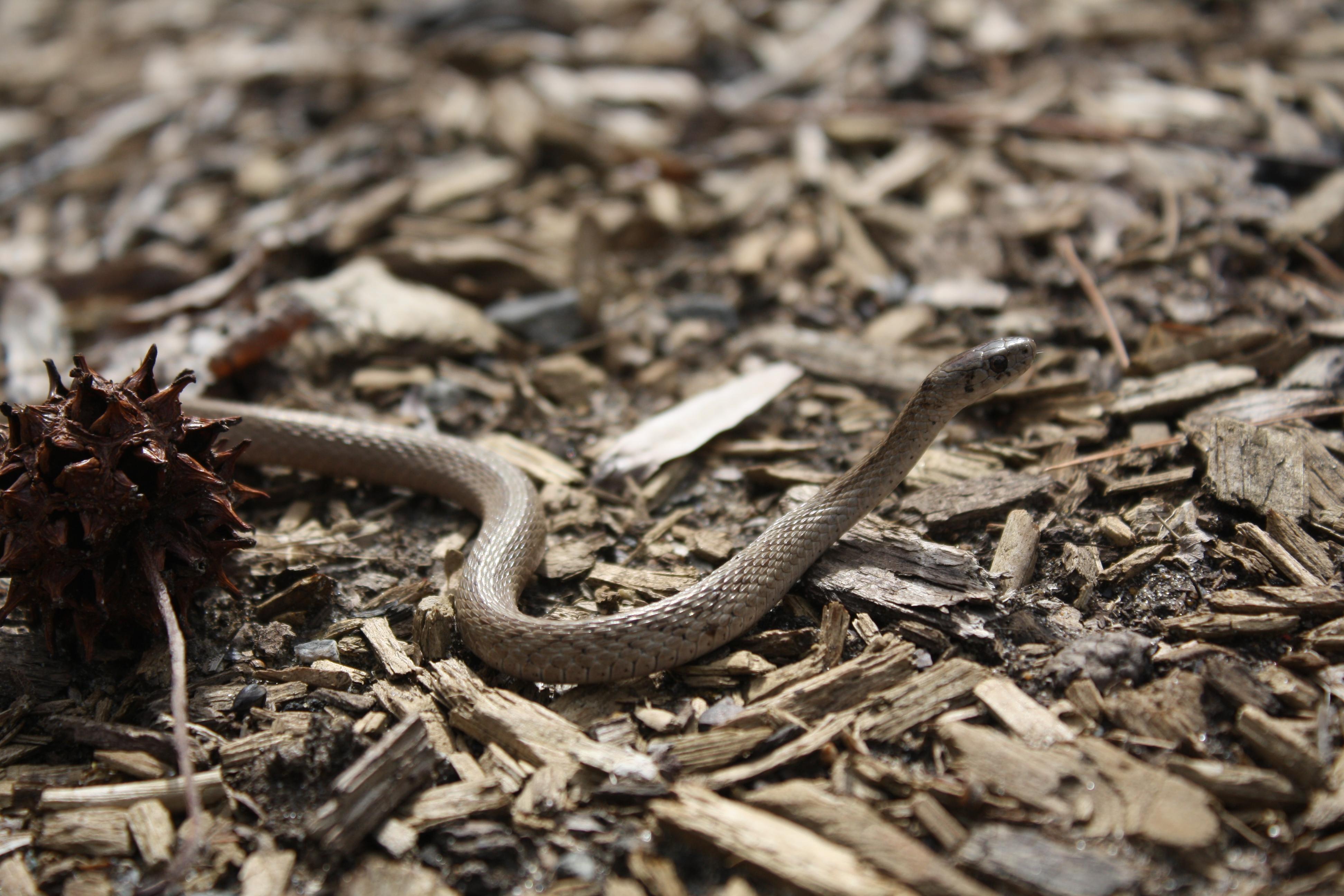 con rắn gỗ rừng Trượt Rắn Bò sát Loài bò sát tỉa Colubridae Con rắn Động