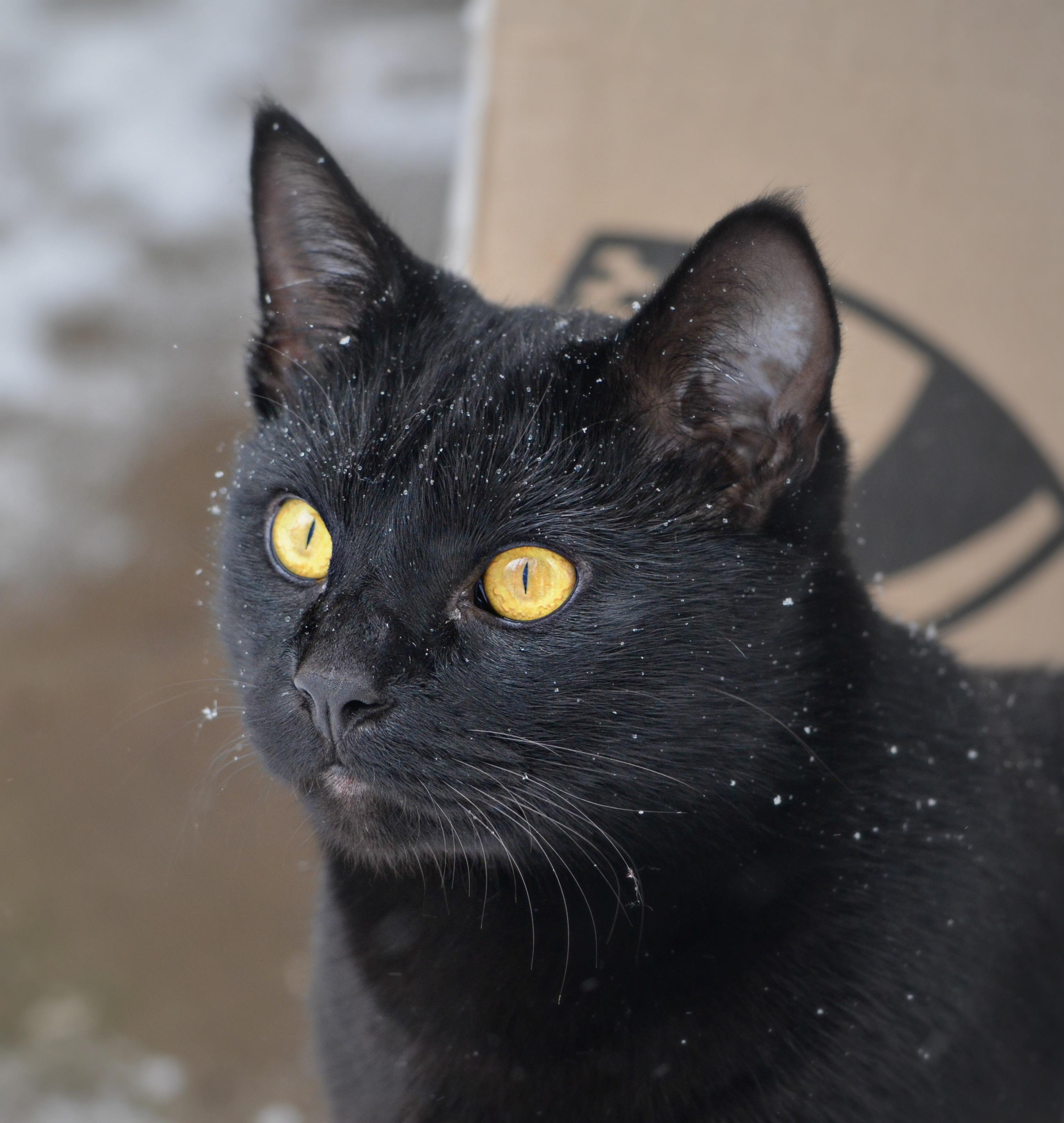 Čierna Ruská mačička