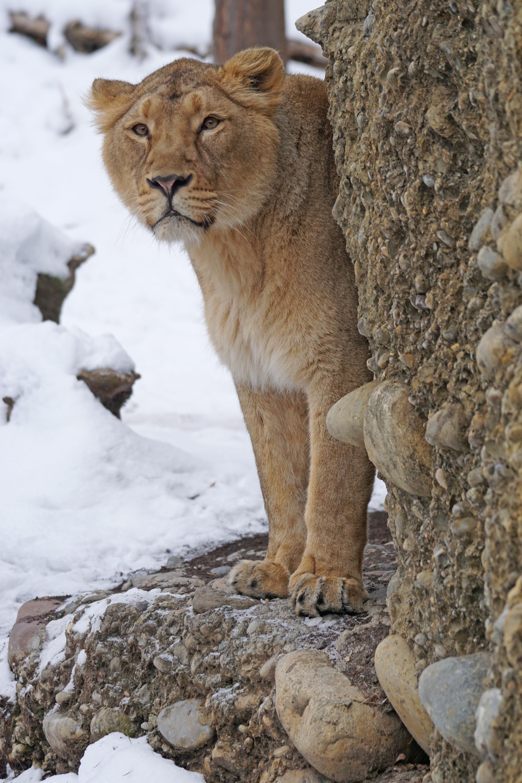 Preconcepción arquitecto Shetland  Fotos gratis : nieve, frío, invierno, animal, hembra, fauna silvestre,  depredador, león, Gato grande, vertebrado, indio, Puma, puma, Gatos grandes,  Gato como mamífero, Perro raza 4000x6000 - - 659899 - Imagenes gratis -  PxHere