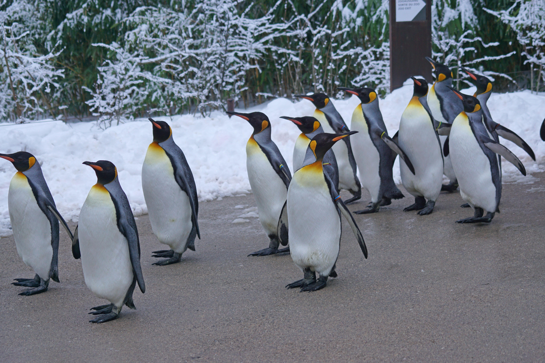 7800 Gambar Hewan Penguin HD Terbaru