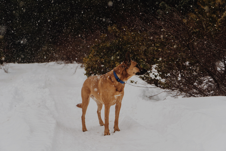 9afcdc58ad80 χιόνι κρύο χειμώνας άσπρο σκύλος ζώο κυνικός κατοικίδιο ζώο καιρός  θηλαστικό ζώο εποχή Βοσκός σε εξωτερικό