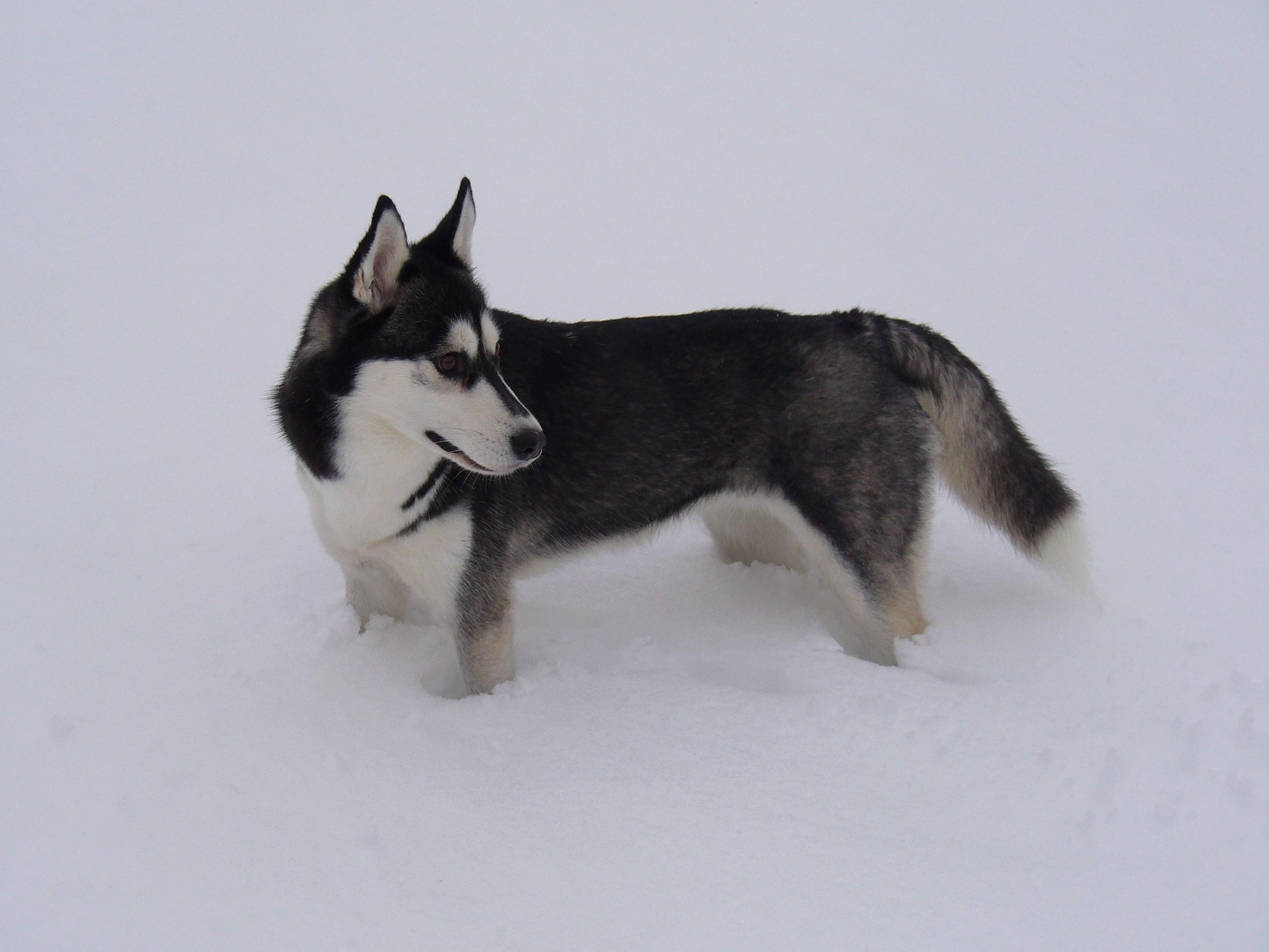 Images Gratuites : neige, rauque, vertébré, race de chien