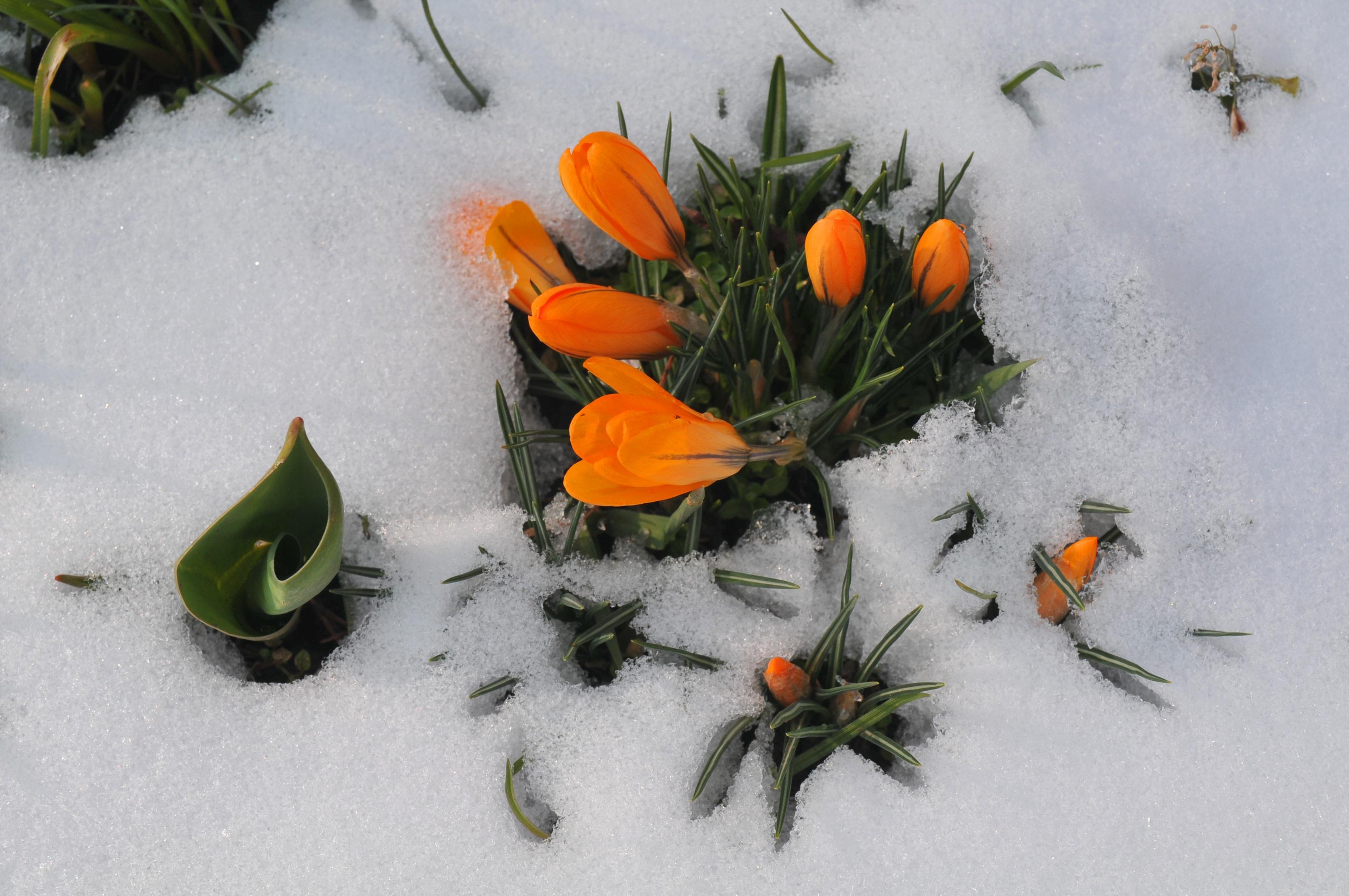 Kostenlose Foto Schnee Pflanze Blume Fruhling Eisig Krokus