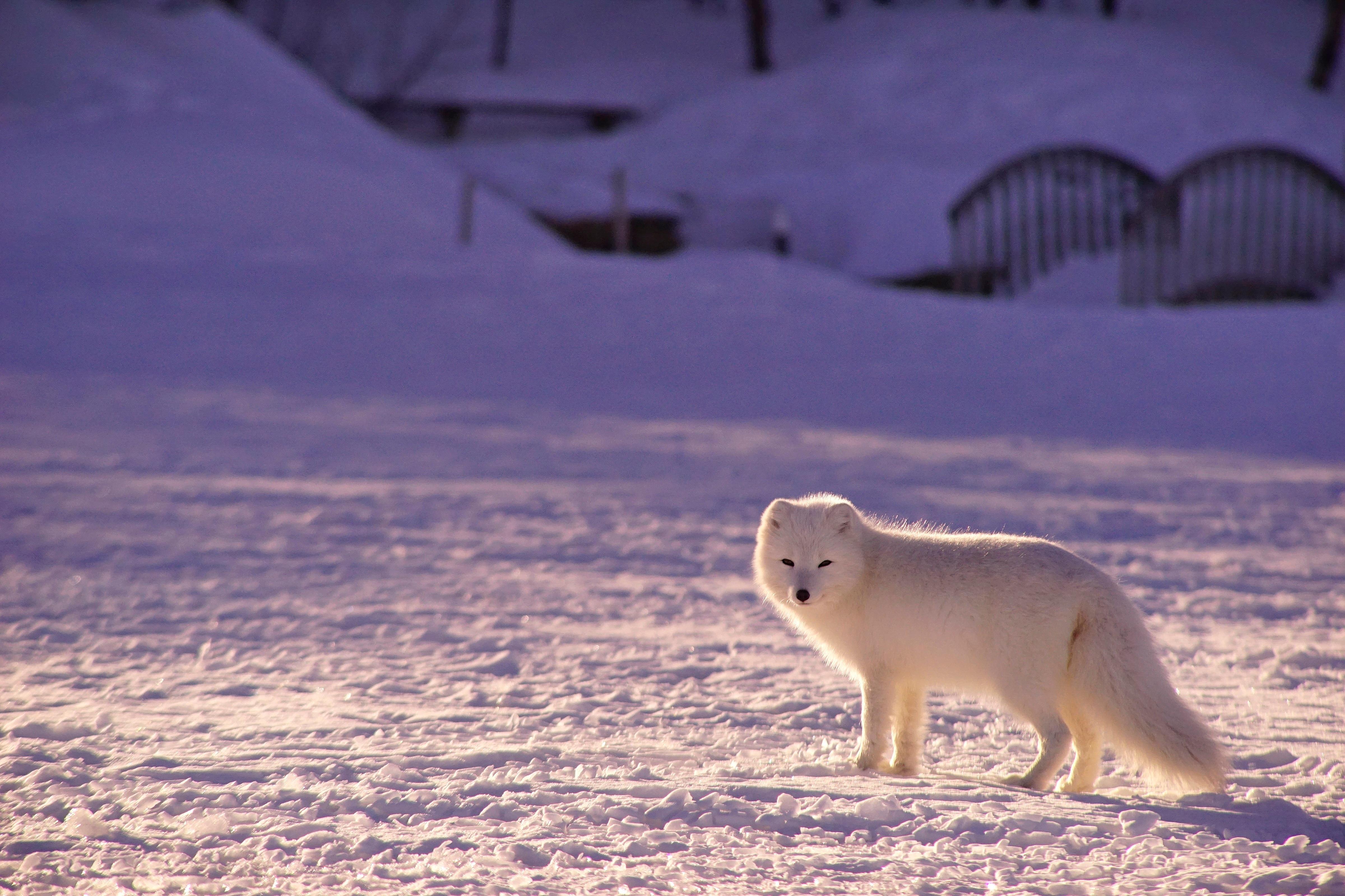 dbdacf76d1c snow winter animal weather mammal fox arctic polar bear arctic fox