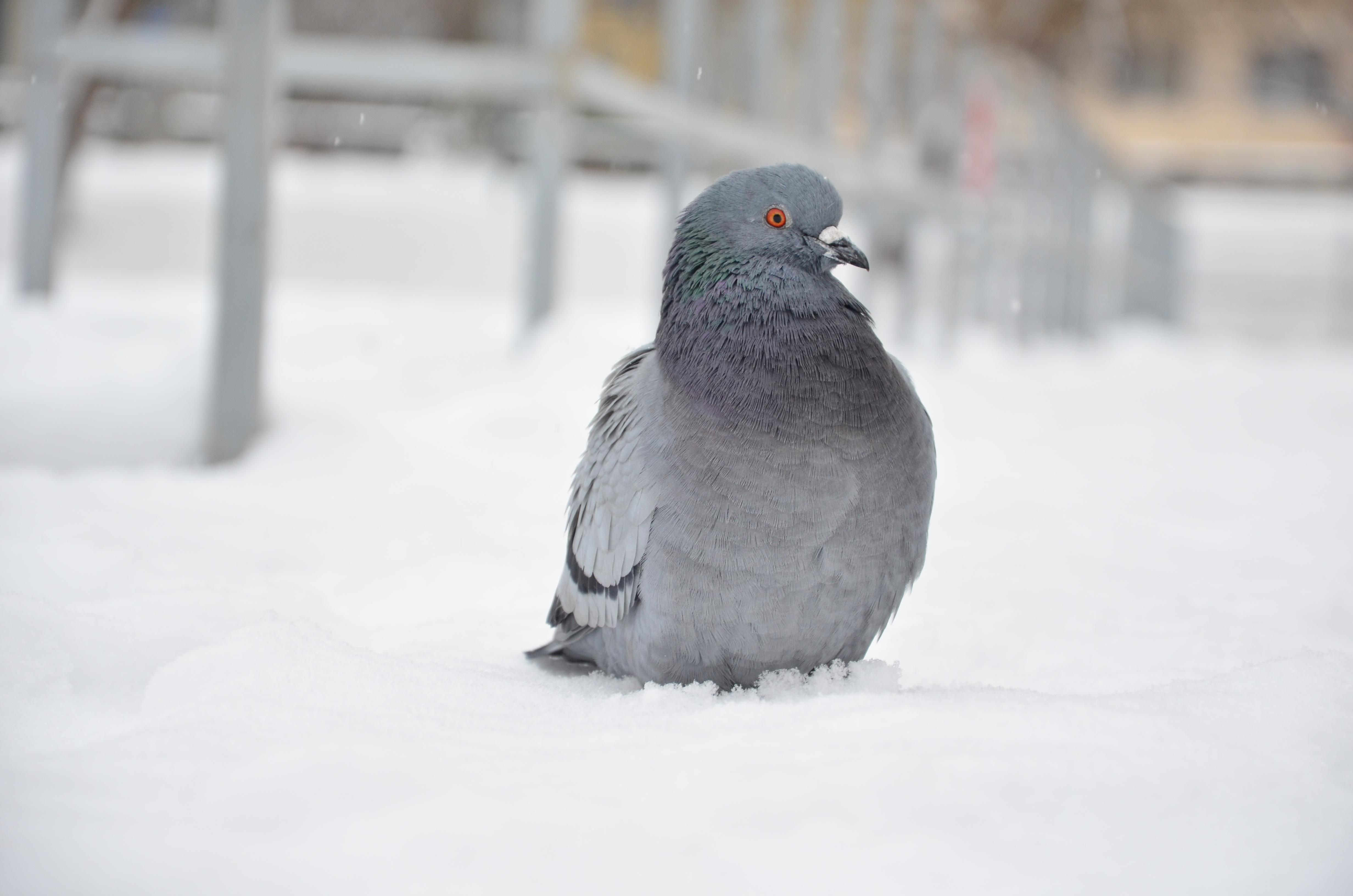 Картинки для детей голубь зимой