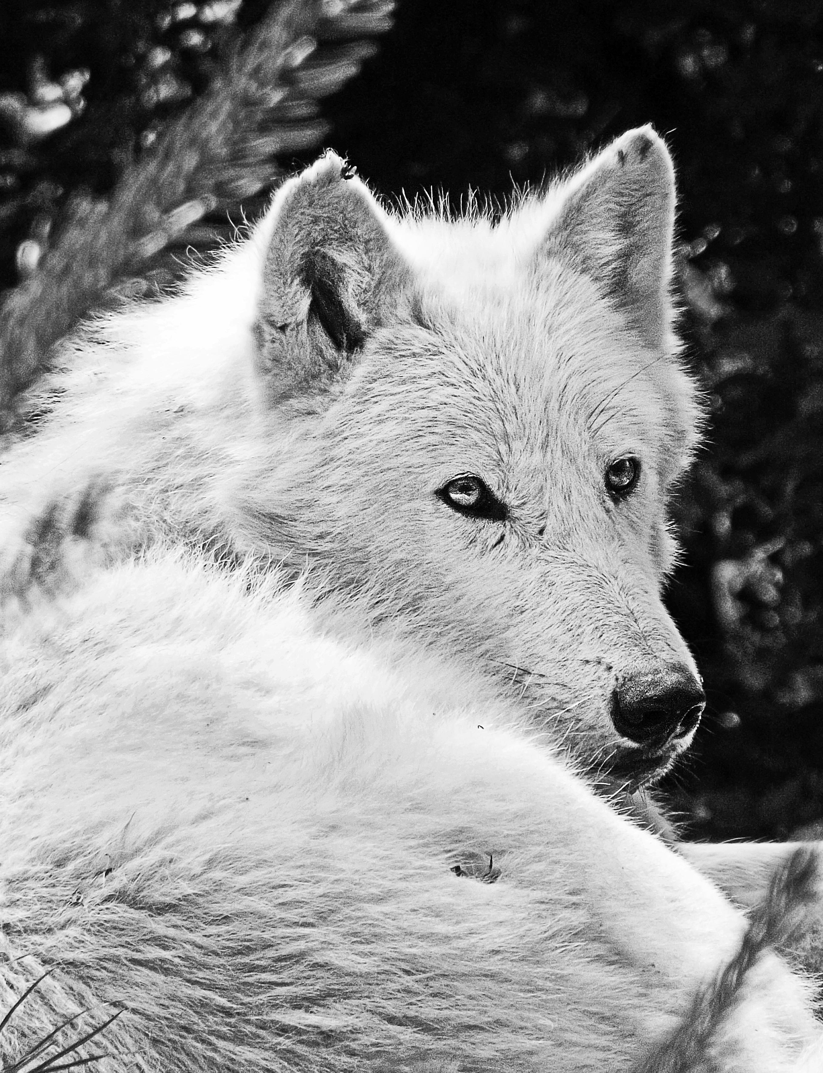 Snow winter black and white hair wildlife mammal wolf monochrome season arctic fox beast vertebrate monochrome