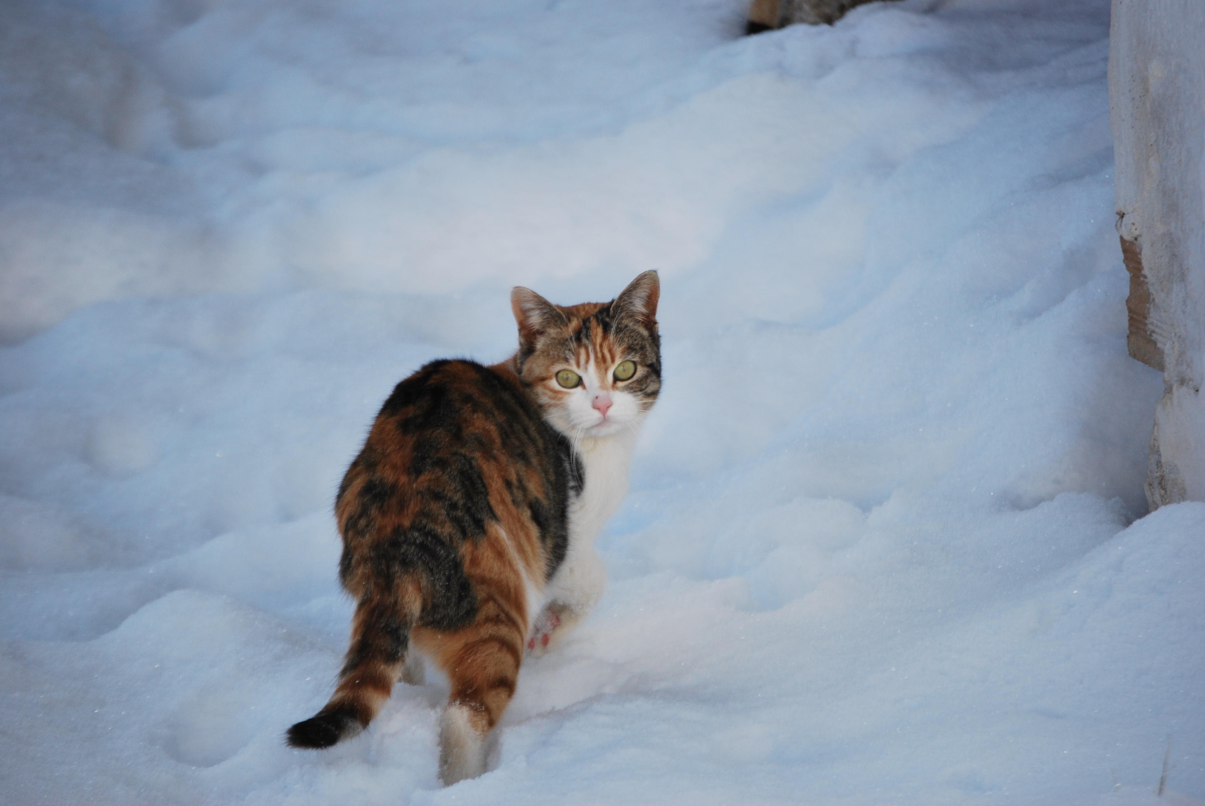 Free Images Snow Winter Kitten Weather Season Fauna