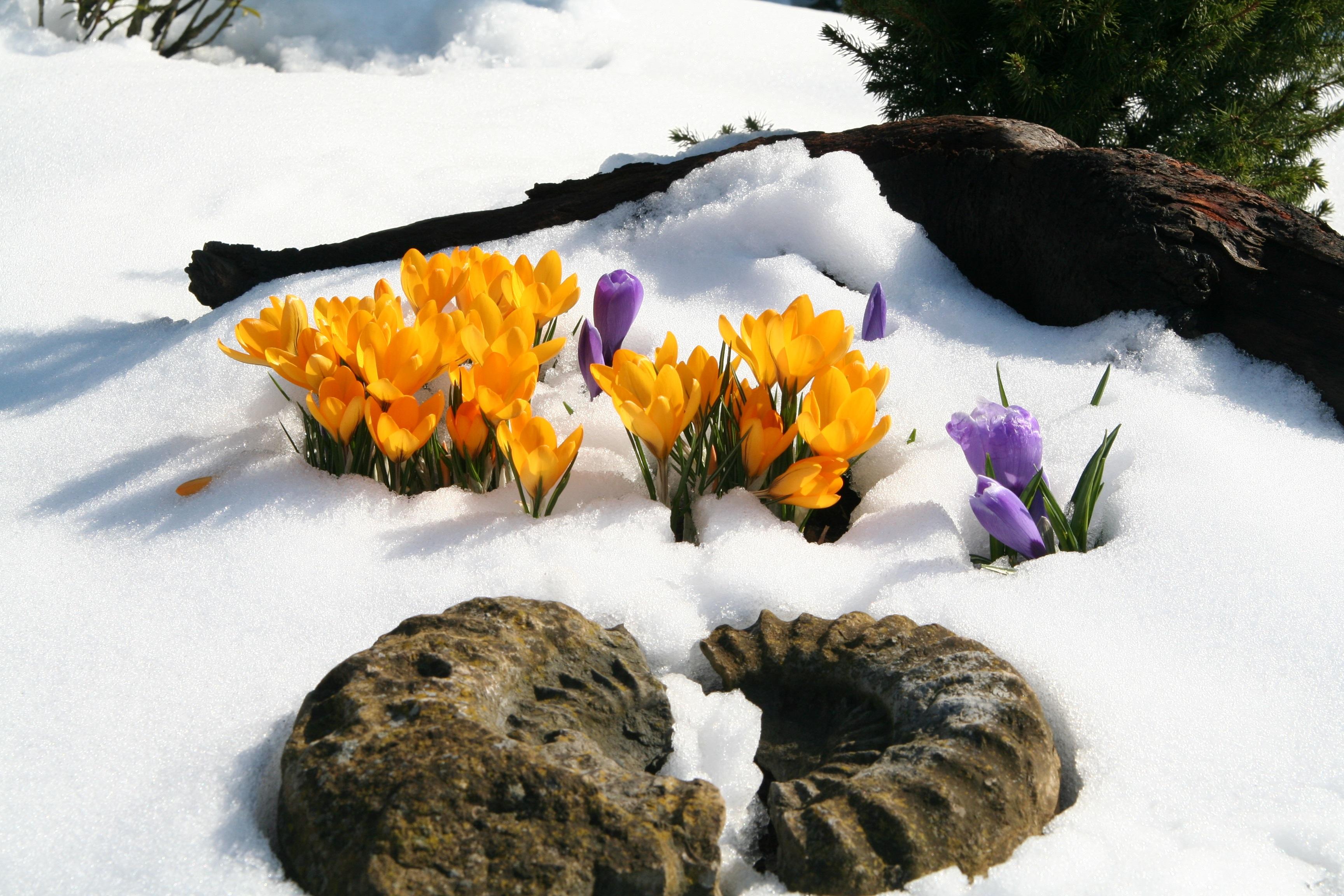 Первый цветок зимы