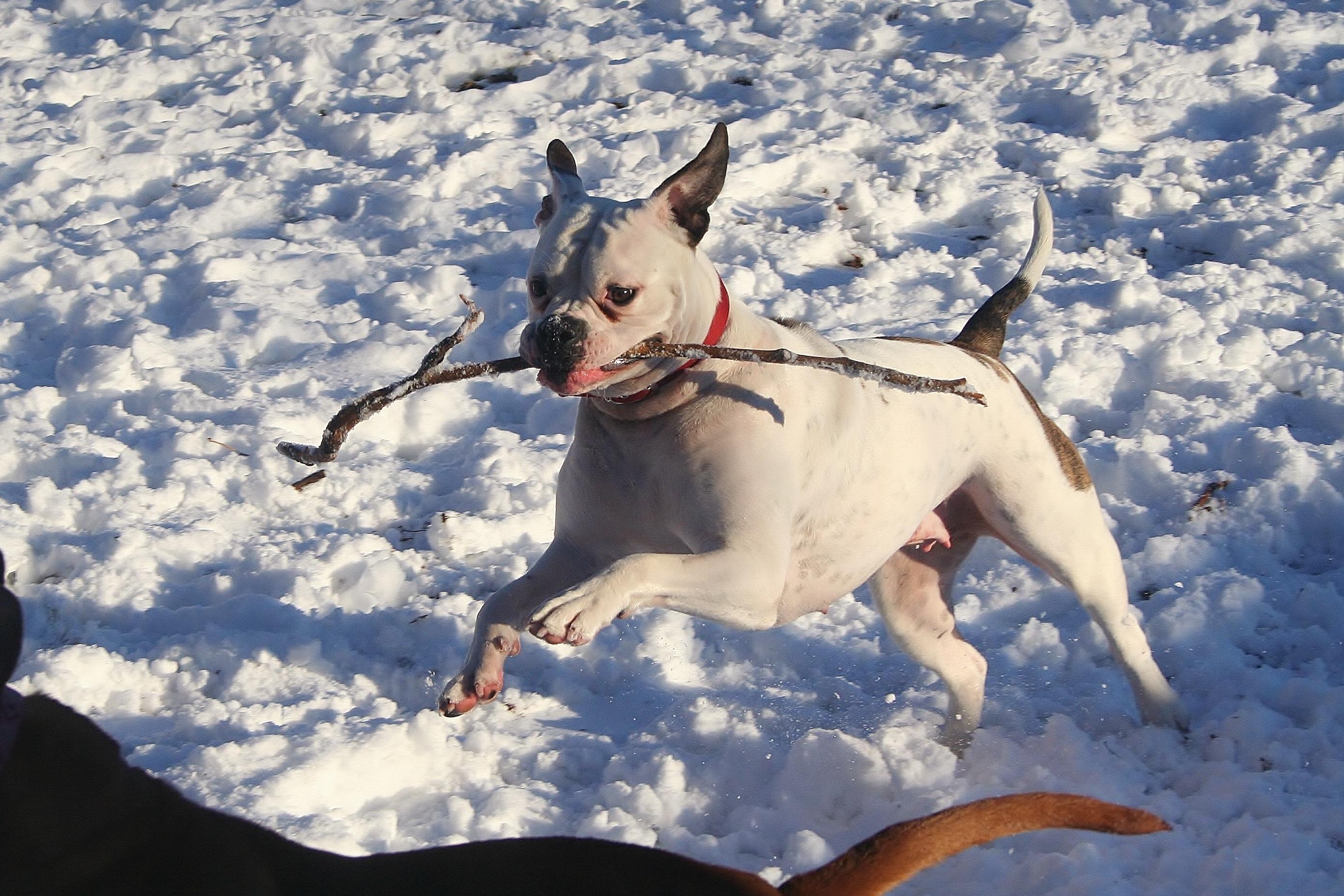 Wonderful Bulldog Canine Adorable Dog - snow-winter-running-dog-canine-pet-mammal-playing-season-vertebrate-domestic-adorable-stick-trained-dog-like-mammal-american-bulldog-733589  Image_229743  .jpg