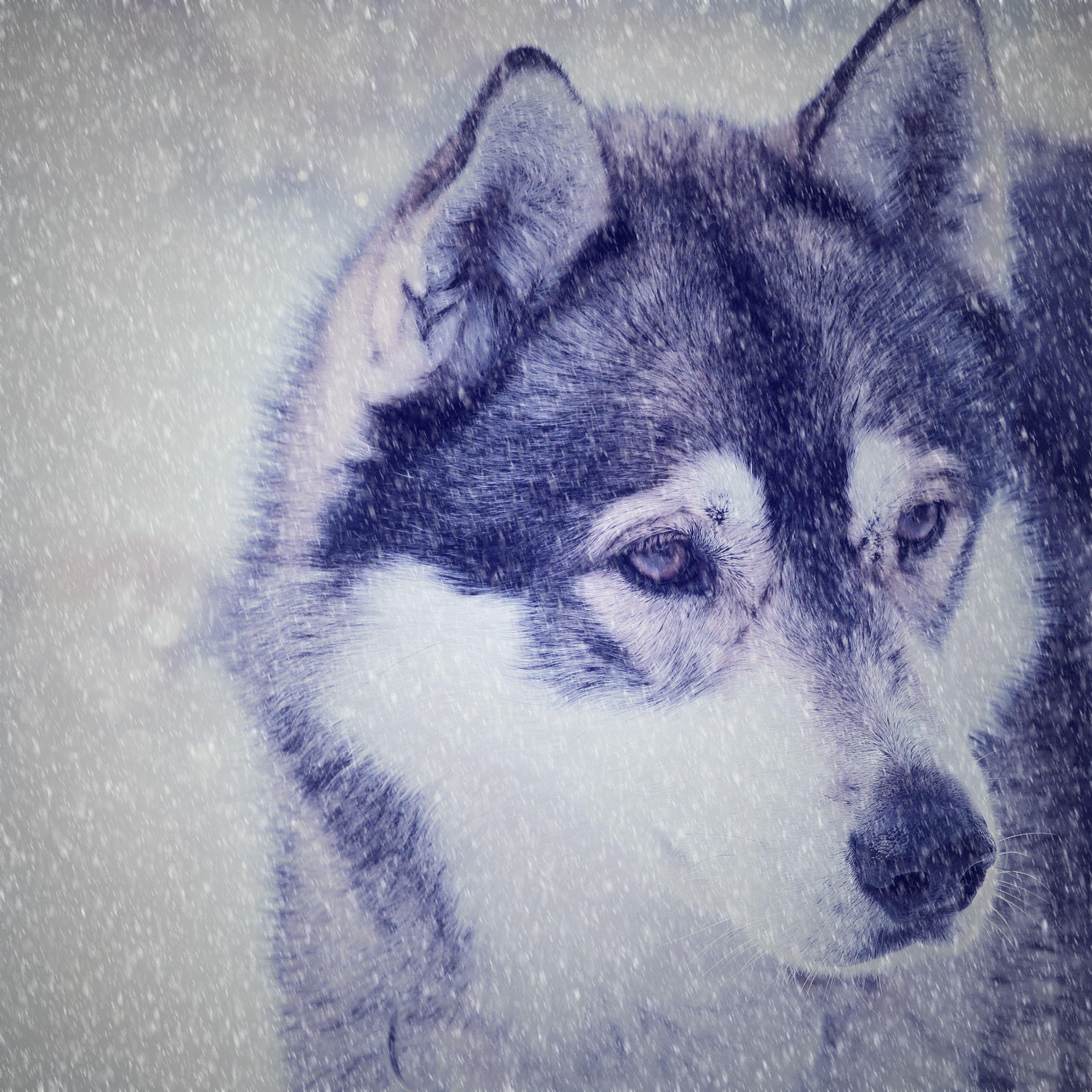 Gambar Salju Musim Dingin Melihat Binatang Menyusui Serigala