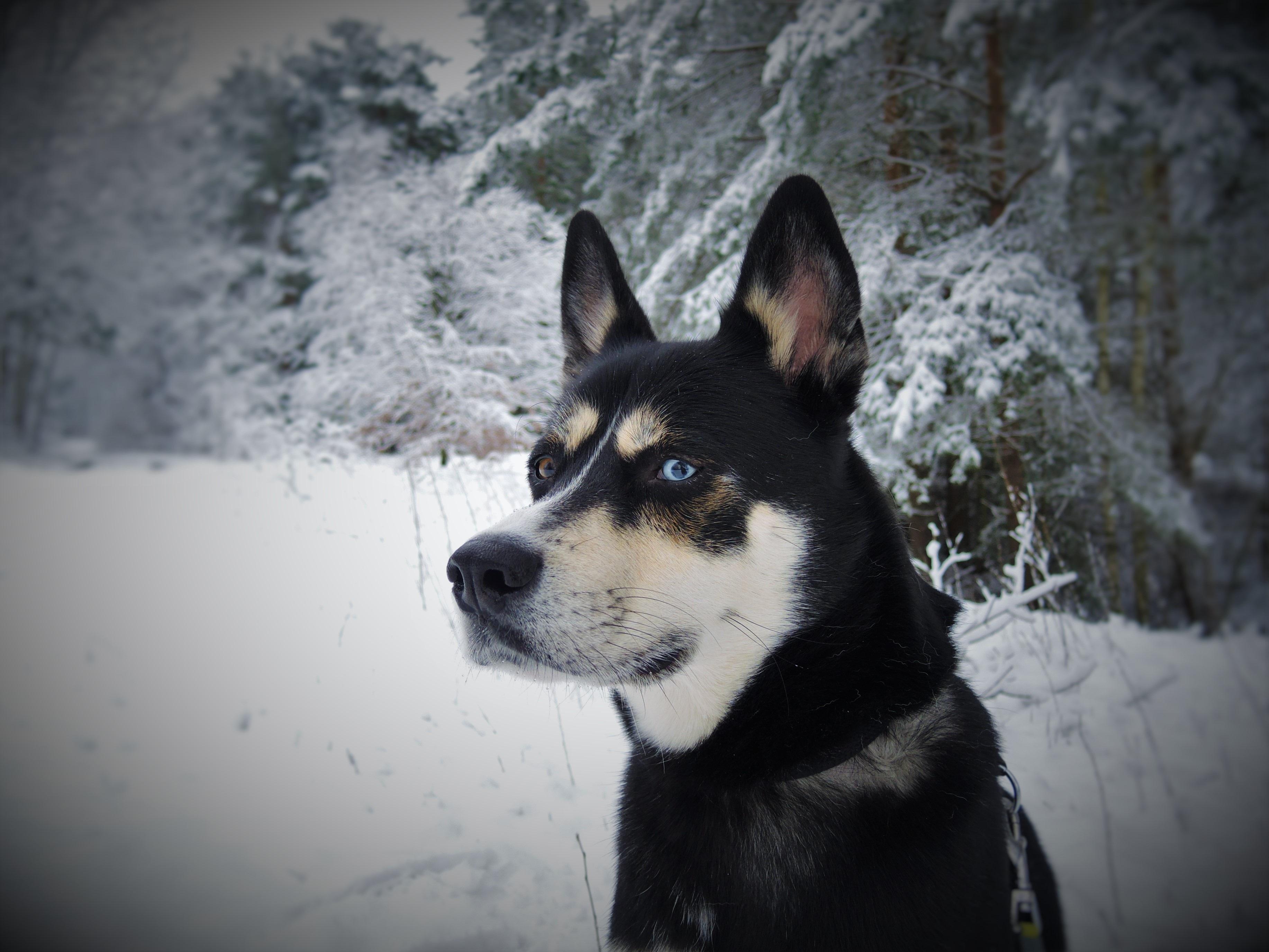 38++ Anjing besar mirip husky terbaru