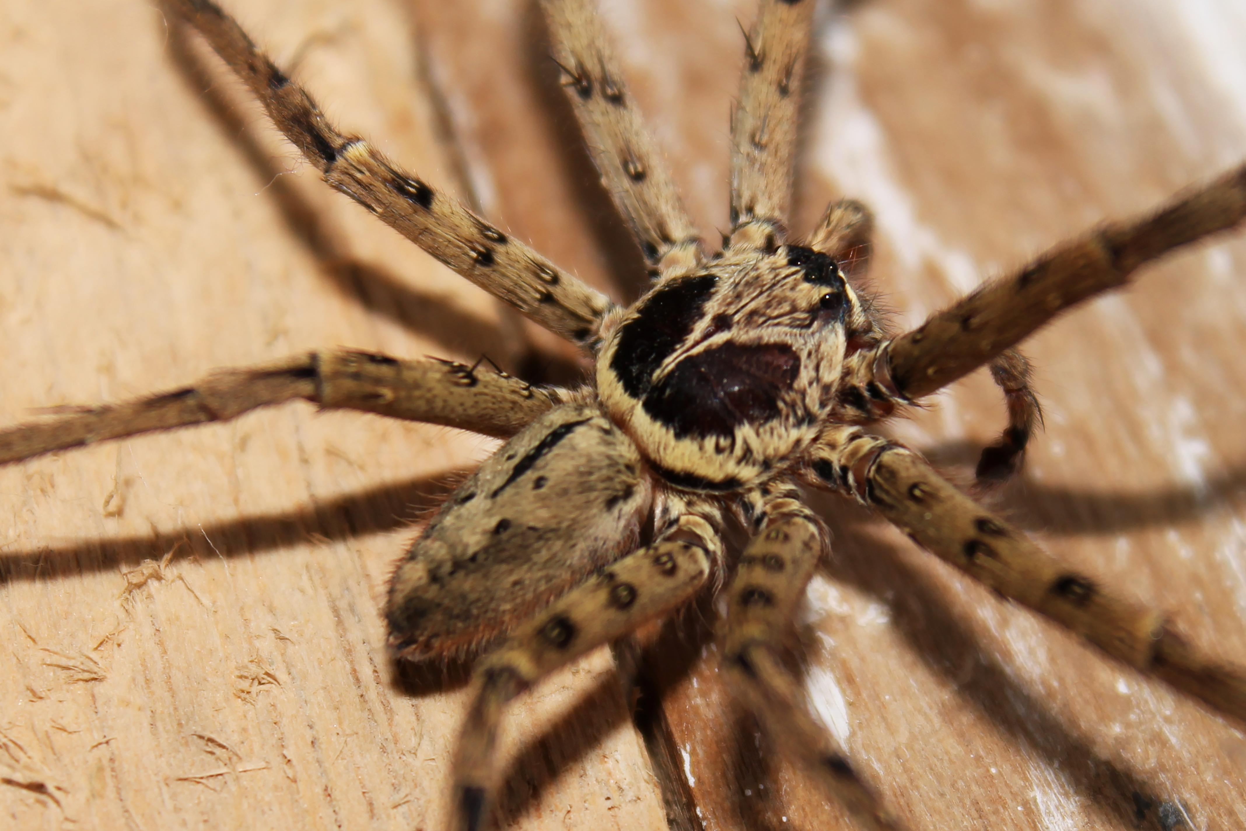 halloween bug fauna invertebrate close up crawling crawl scary danger arachnid creepy horror tarantula dangerous phobia macro photography - Phobia Halloween
