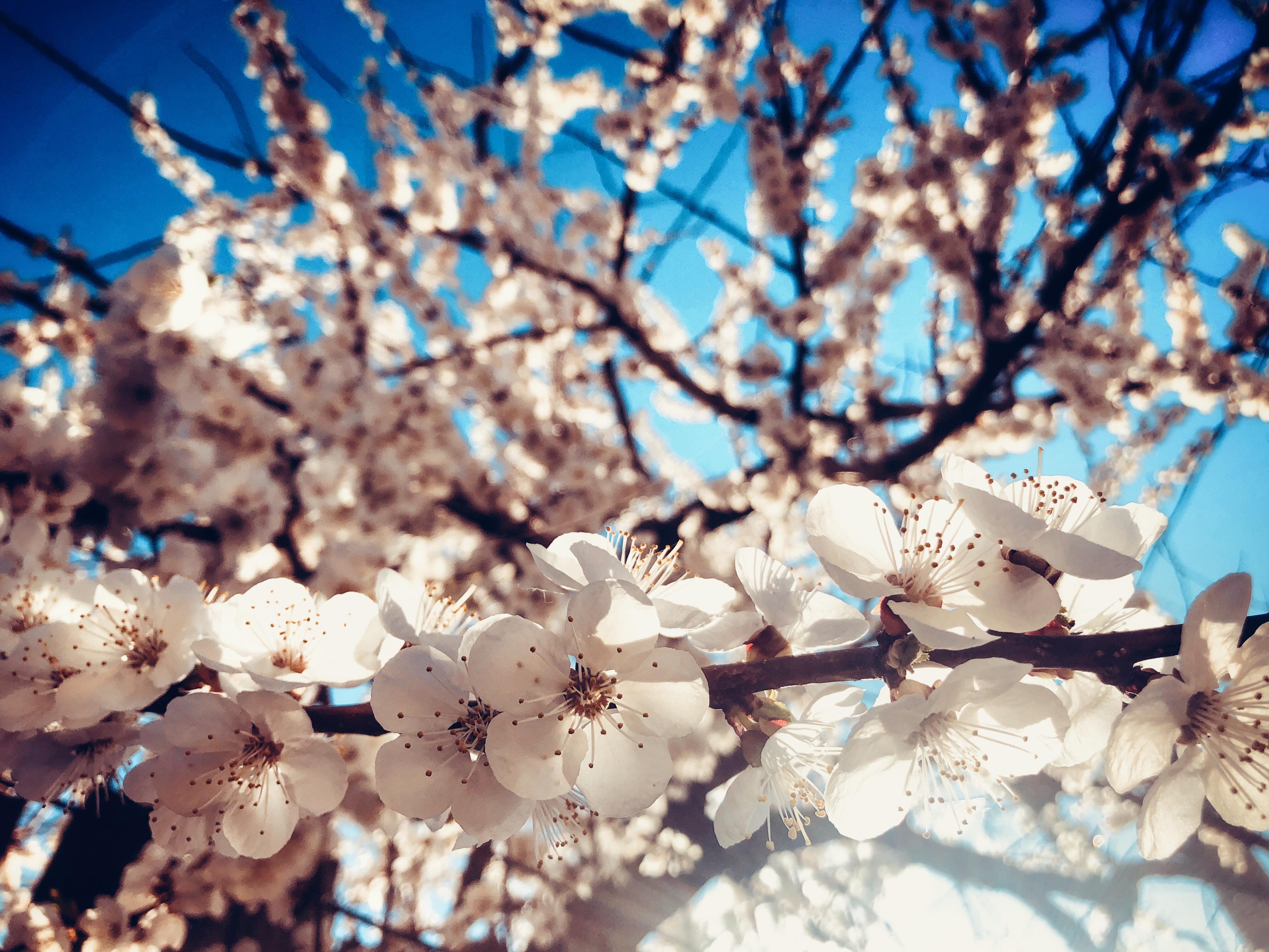 無料画像 春 開花する 空 ブランチ 桜の花 木 工場 小枝