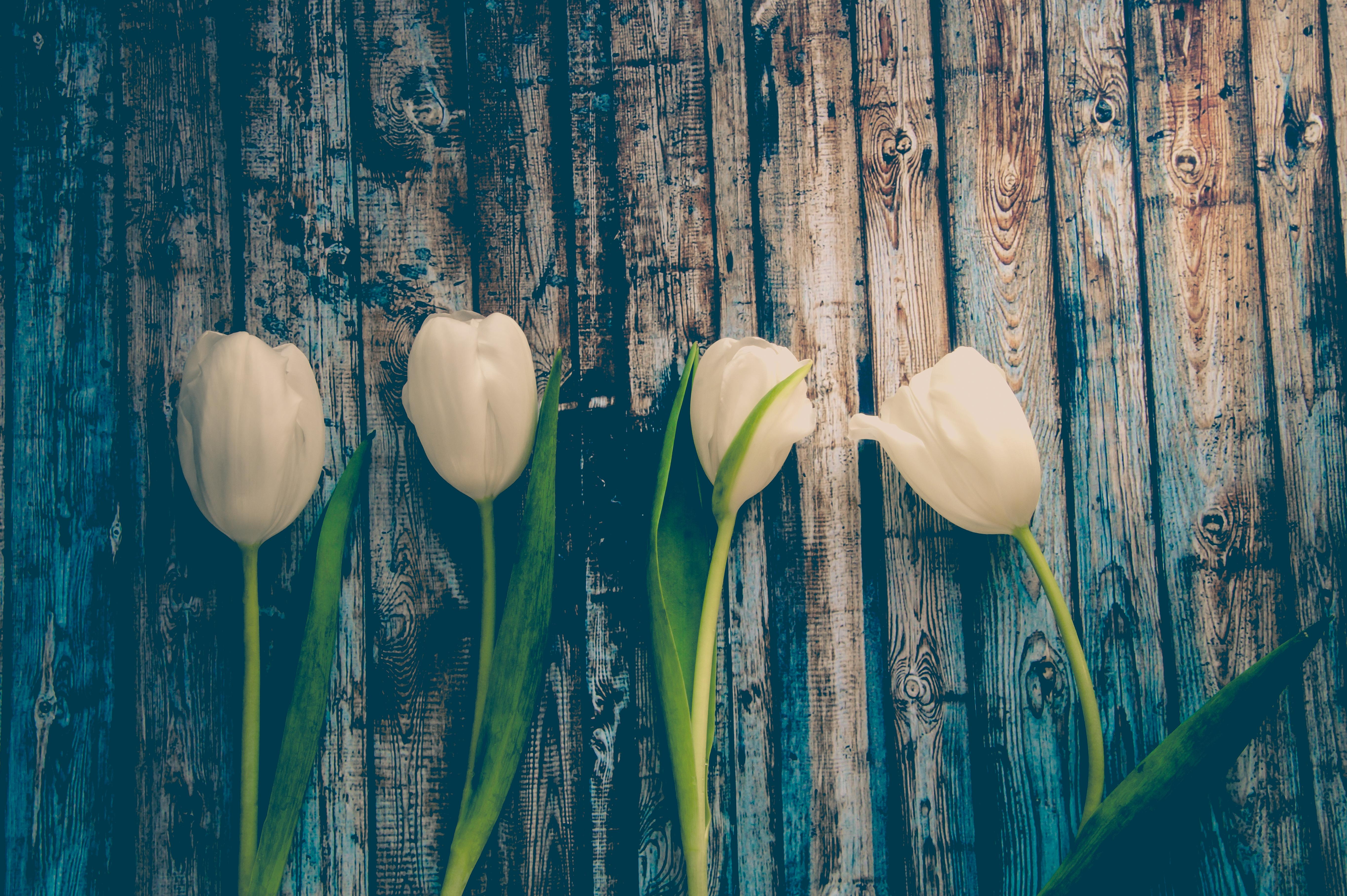 Spring Tulips Flowers Flower Background Wallpaper Season White Green Flora Plant Stem Computer Still