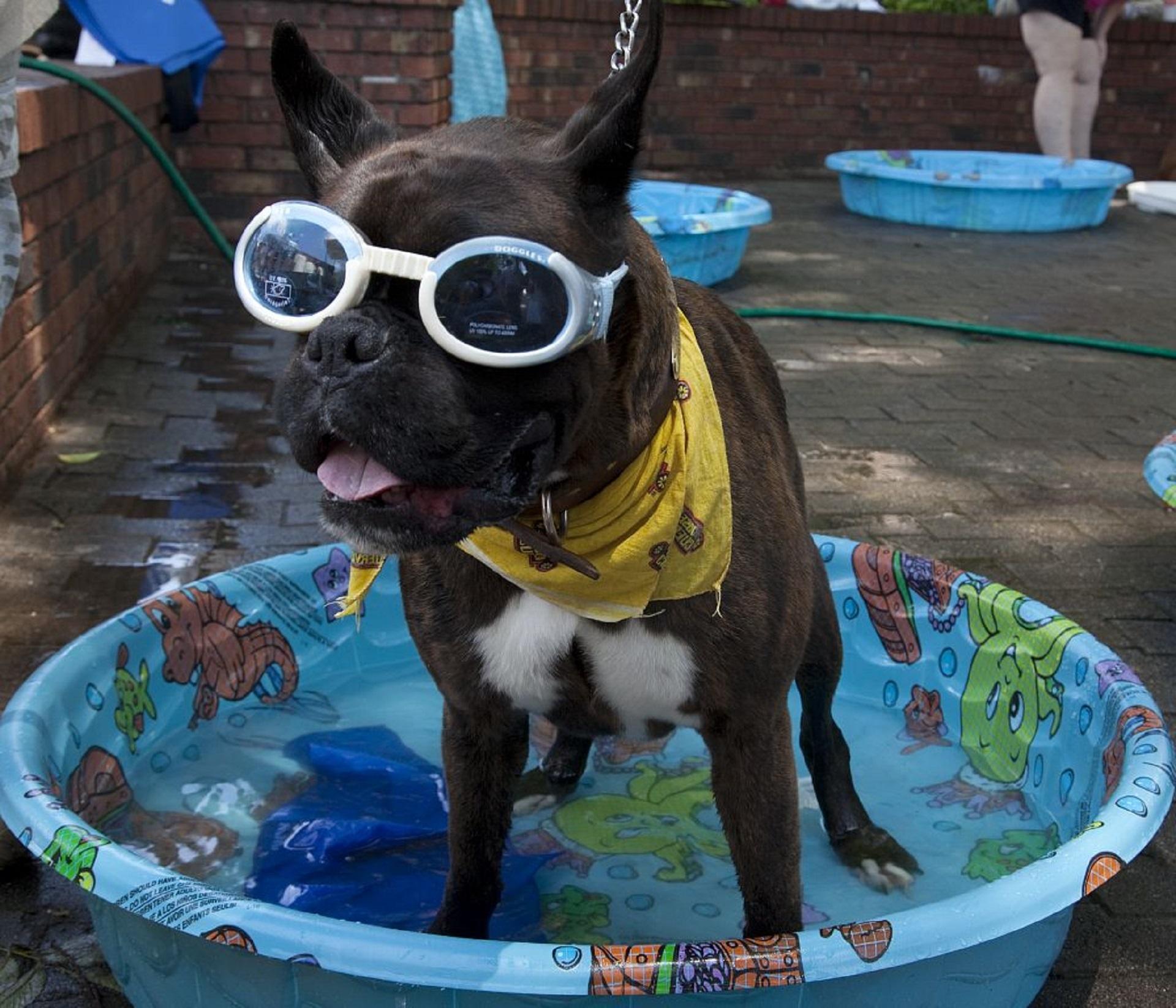 0d6756931439 street dog cute canine summer pool pet mammal blue swimming parade bandana  wading fun goggles domestic