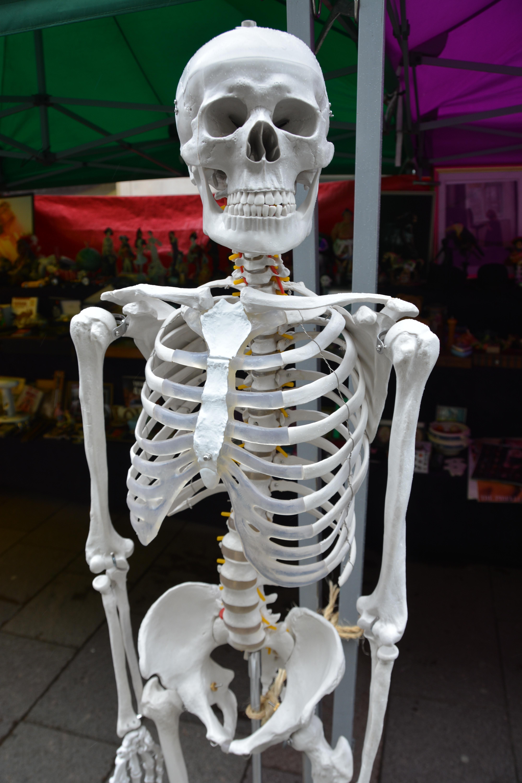 Fotos gratis : estructura, estatua, muerto, medicina, cráneo, hombro ...