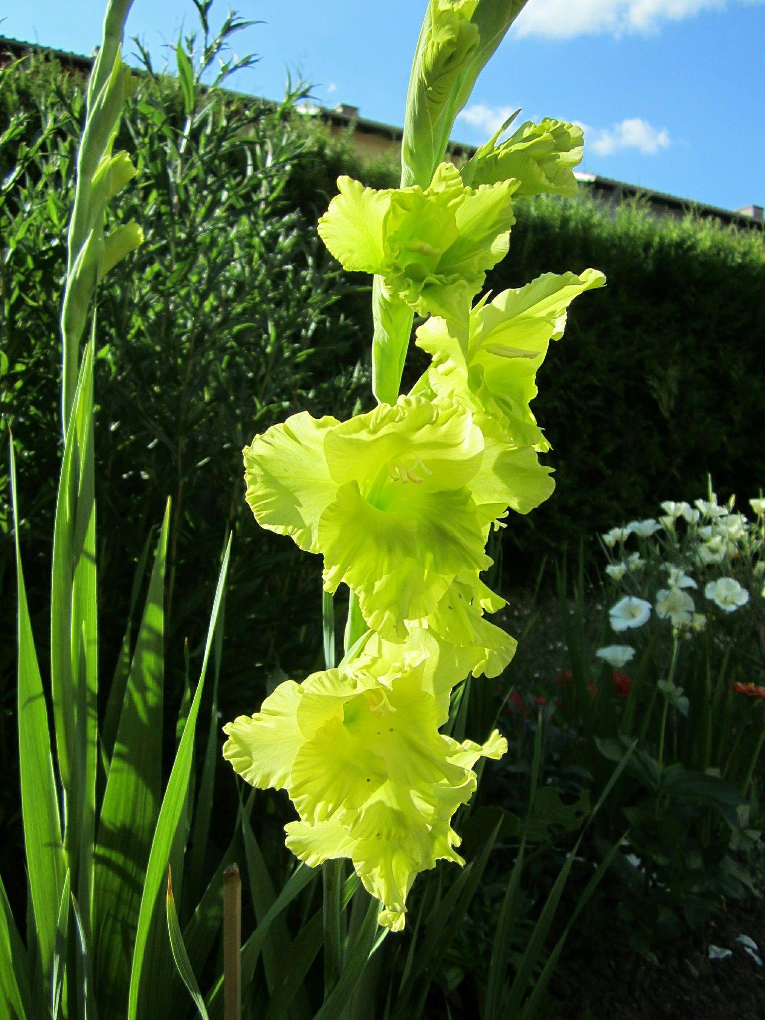 Gambar Musim Panas Menanam Bunga Gladiol Tanaman Berbunga