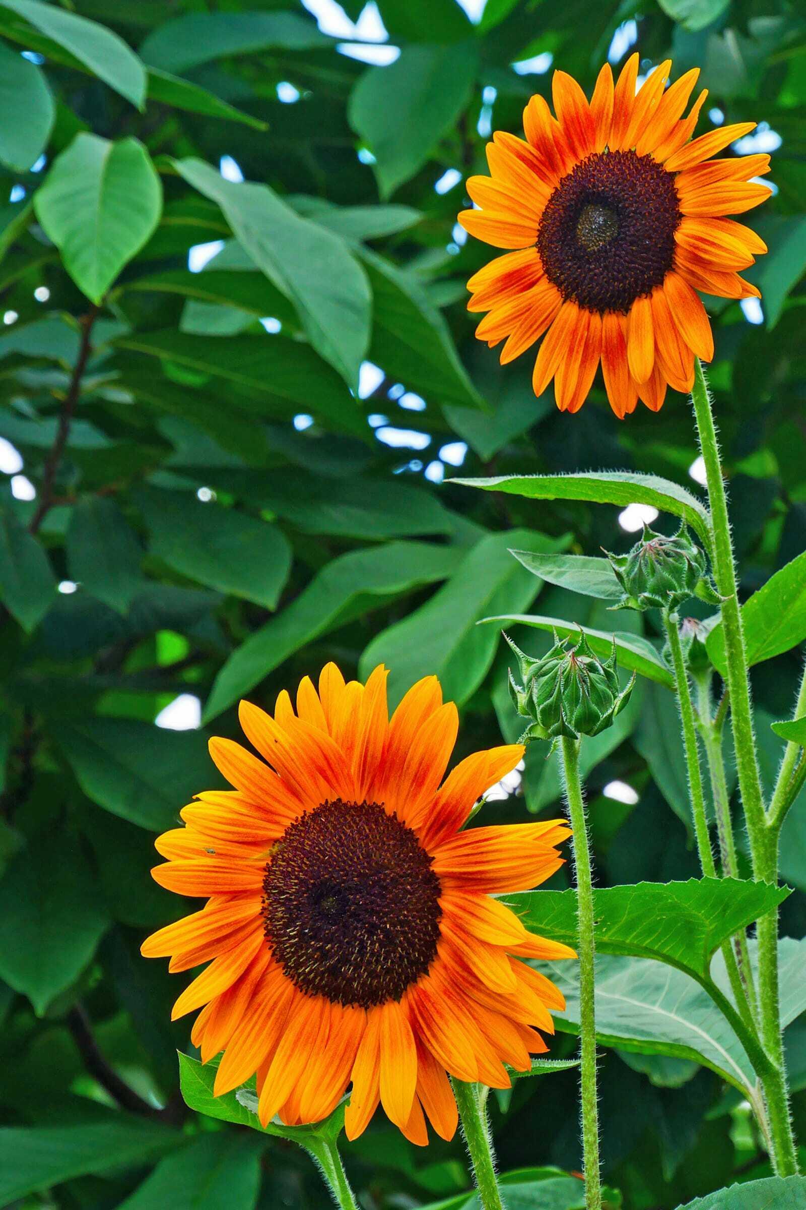 Gambar Indah Alam Bunga Matahari Tanaman Berbunga Menanam Kuning Daun Bunga Botani Asterales Keluarga Daisy Bunga Liar Tanaman Tahunan Hitam Bermata Susan Makanan Vegetarian Perkebunan Biji Bunga Matahari Masakan Tanaman Abadi