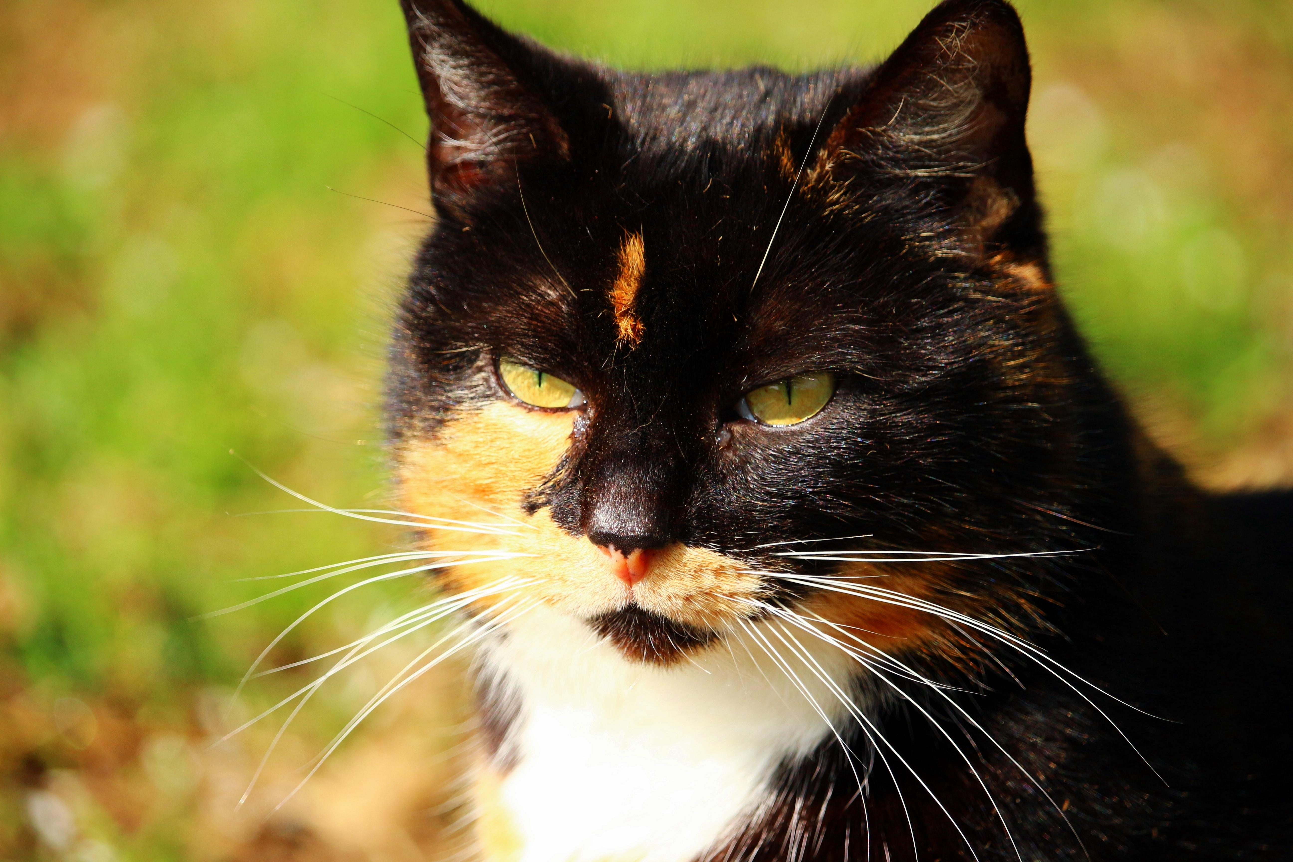Fotos gratis : sol, gatito, limpiar, gato negro, fauna, de cerca ...