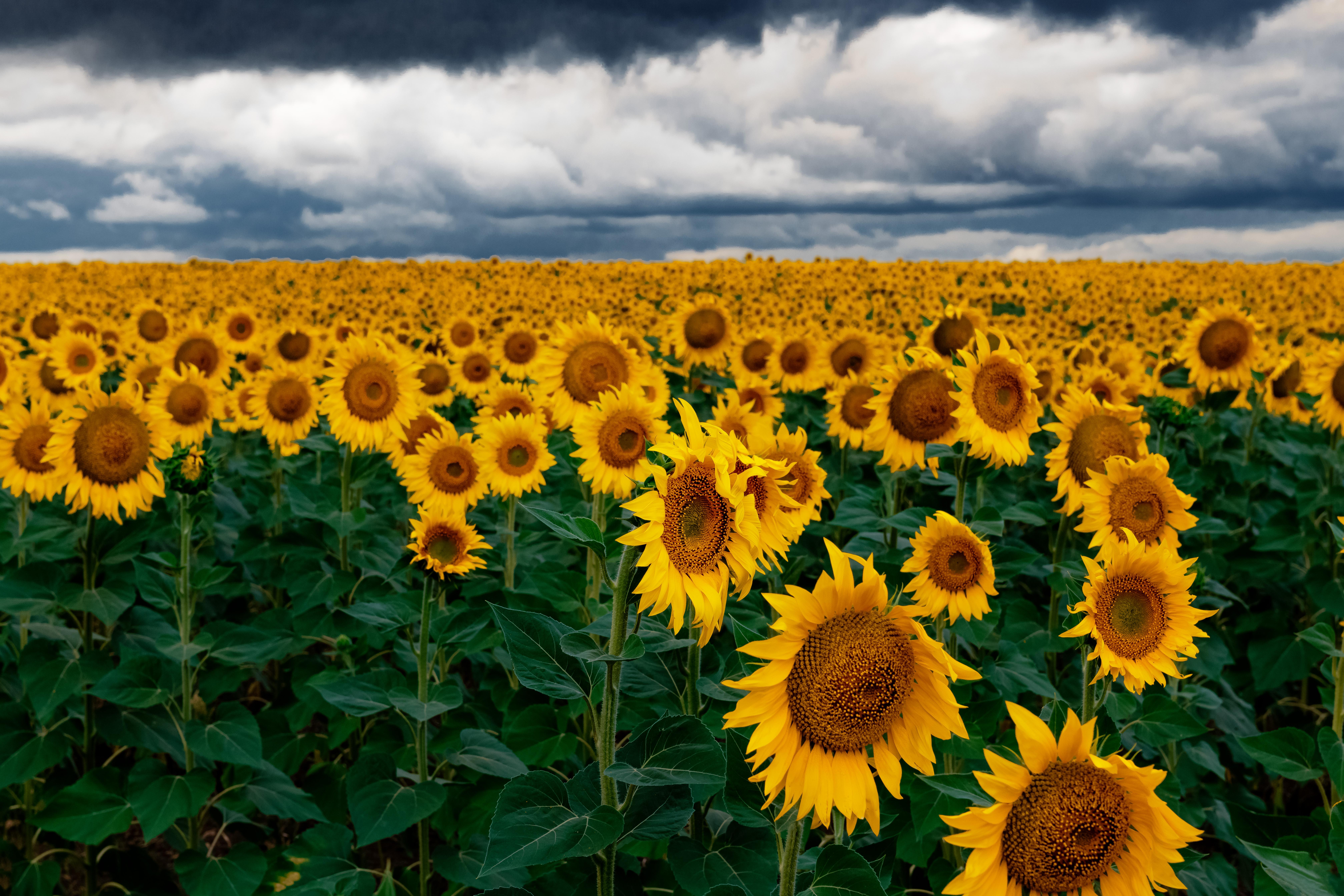 Gambar Bunga Matahari Bidang Langit Awan Kuning Menanam Perkebunan Tanaman Berbunga Makanan Vegetarian Padang Rumput Pemandangan Biji Bunga Matahari Bunga Liar Polos Masakan Tanah Pertanian Keluarga Daisy Asterales Tanaman Tahunan