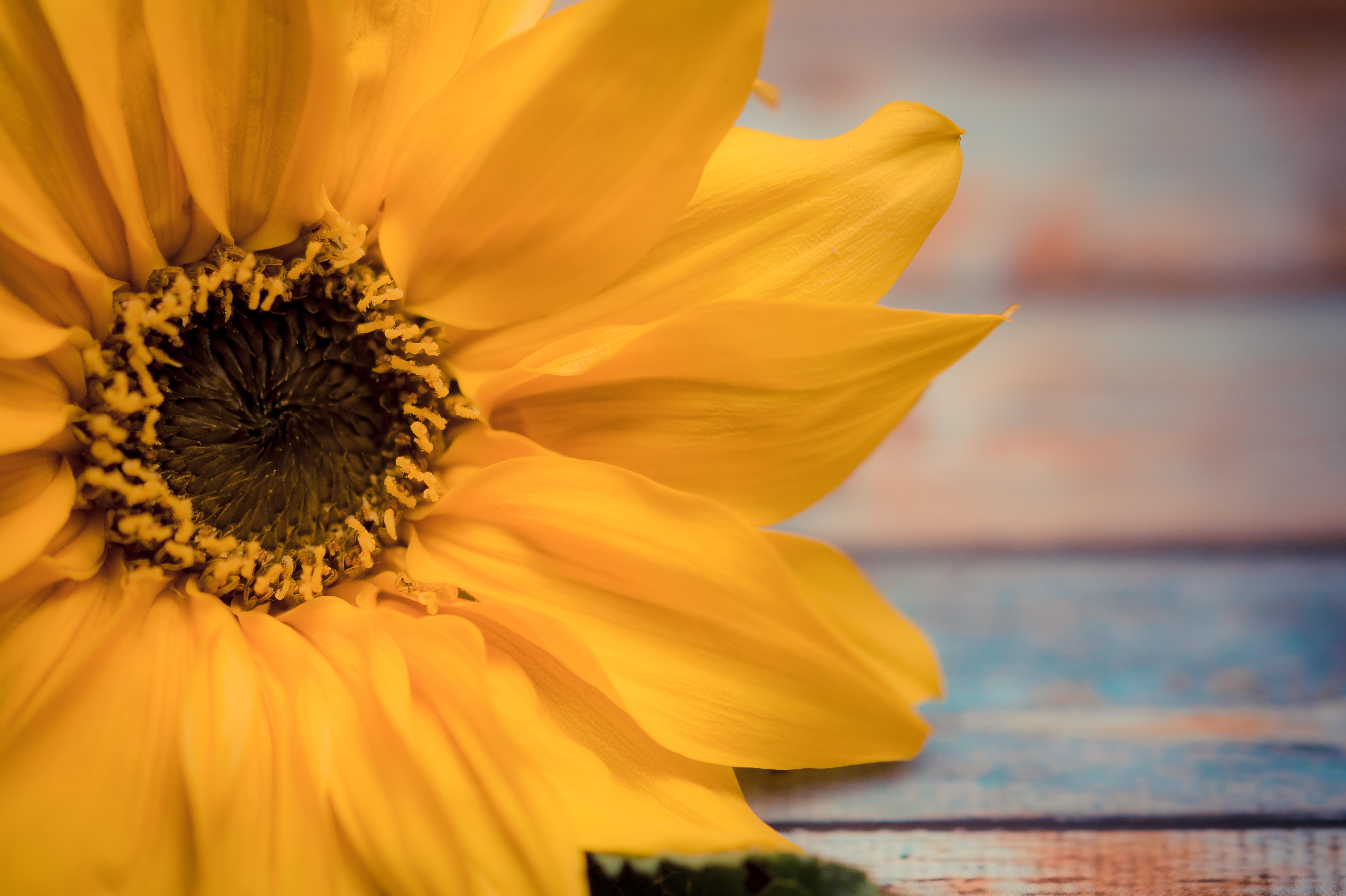 Free images sunflower flower yellow flowers background summer sunflower flower yellow flowers background summer flora petal close up macro photography plant pollen spring sunlight mightylinksfo