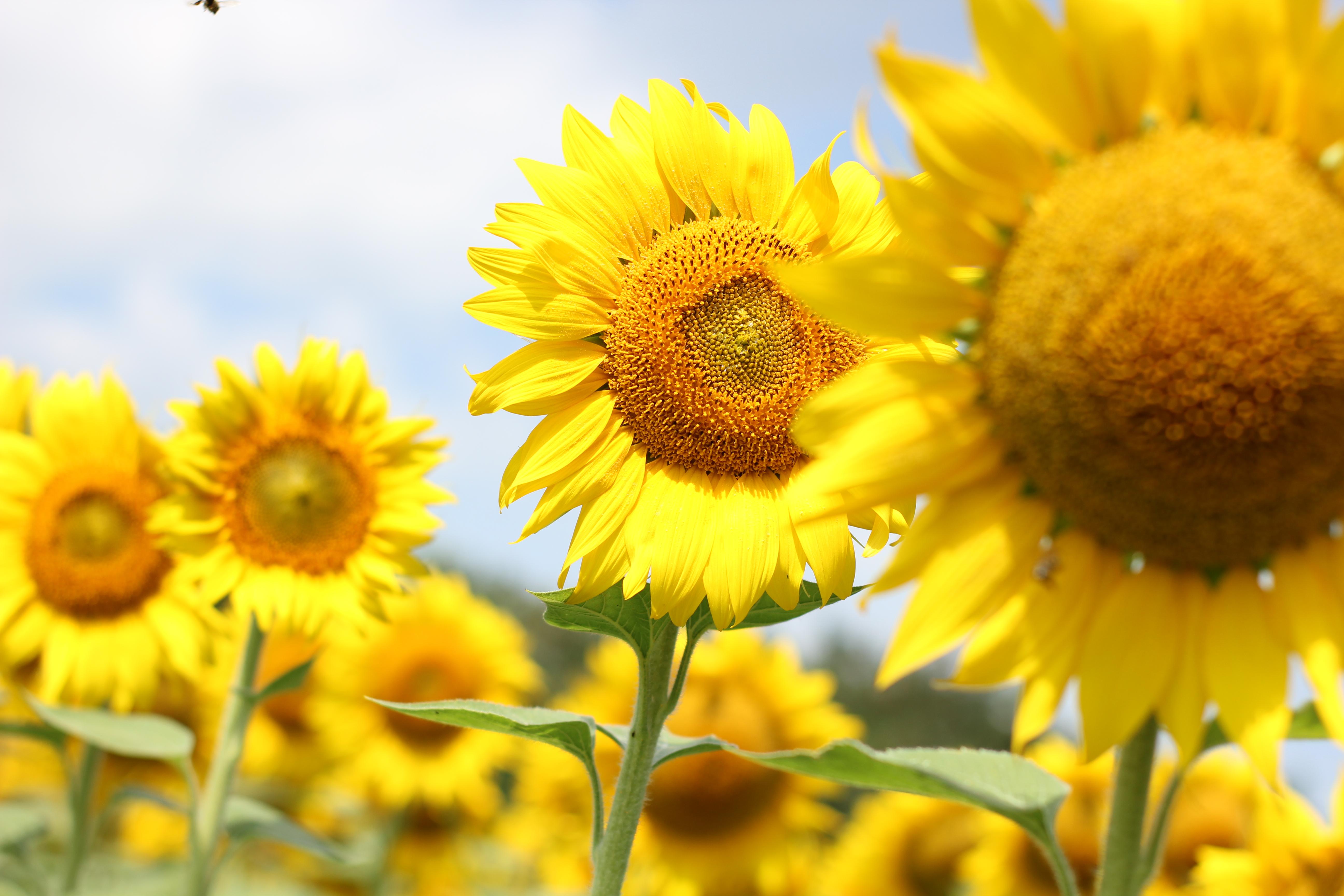 無料画像 ひまわりの畑 フローラ フィールド フラワーズ 農業