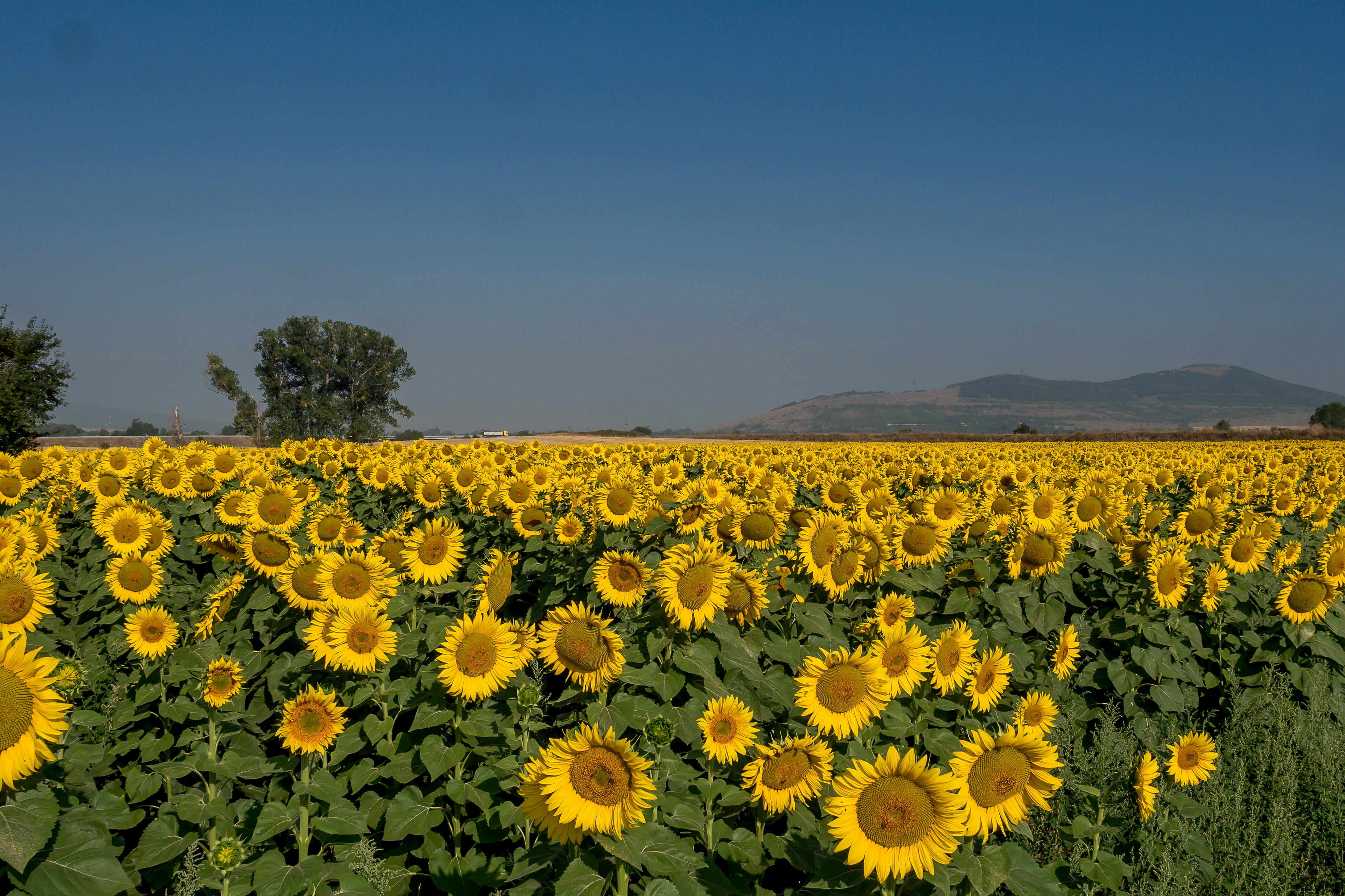 Gambar Bunga Matahari Hari Langit Bidang Kuning Menanam Tanaman Berbunga Perkebunan Musim Semi Tanah Pertanian Pemandangan Tanaman Uang Bunga Liar Biji Bunga Matahari Horison Keluarga Daisy Polos Padang Rumput Awan Makanan