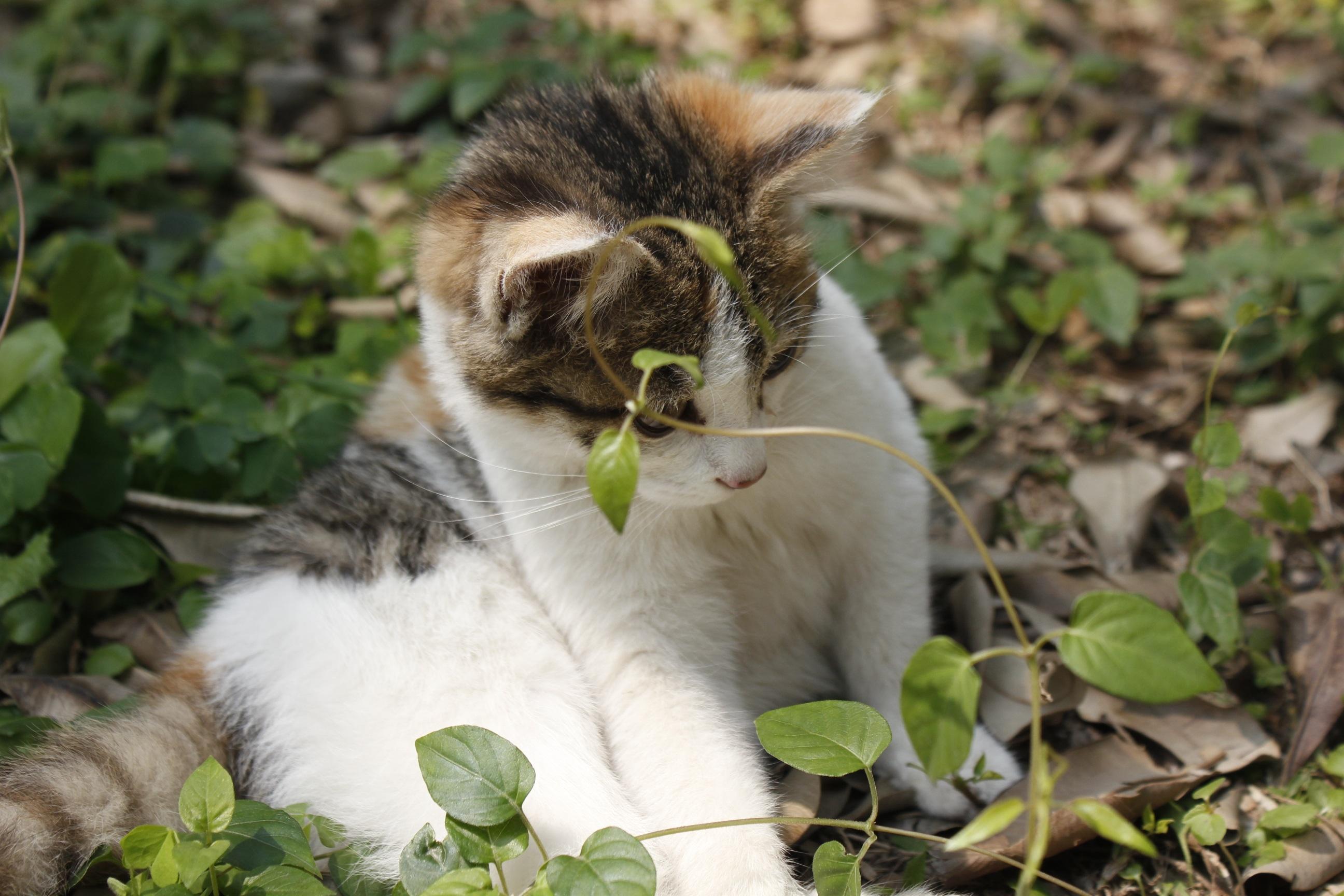 Veľké šírenie mačička