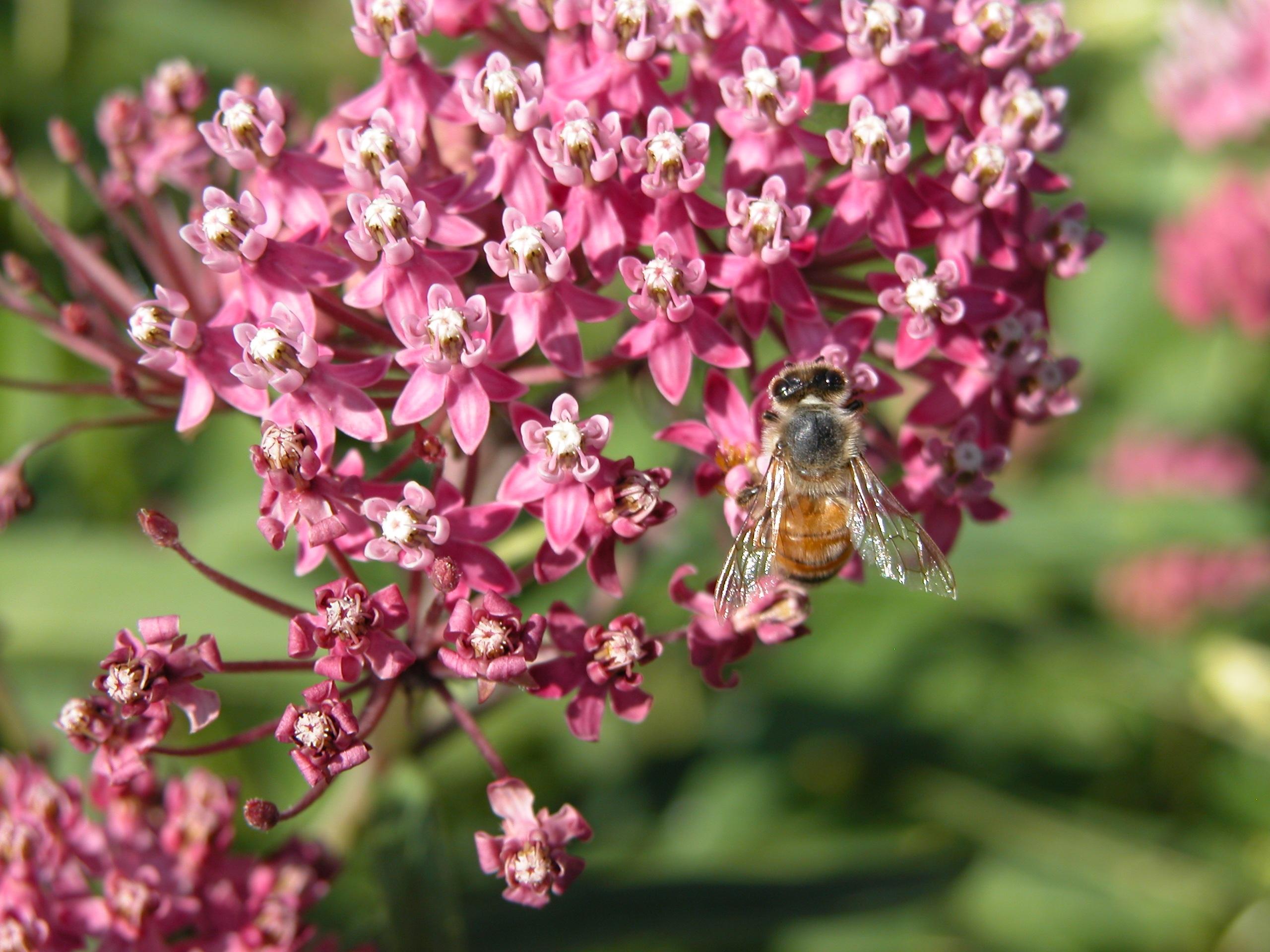 Fotos Gratis Maleza De Pantano Milkweed Rojo Abeja Flor
