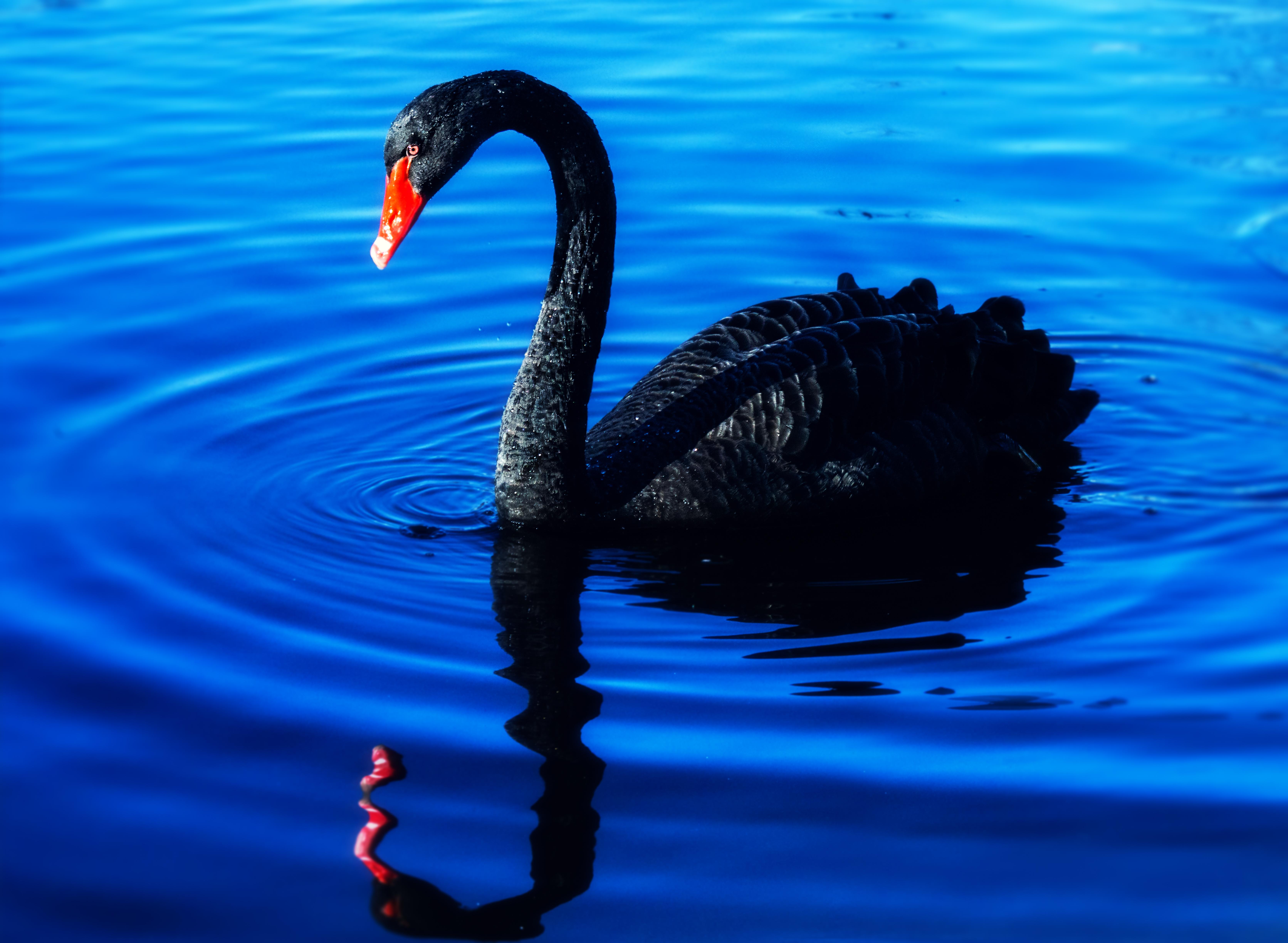 взрослые черные лебеди фото красивые делать надо, сегодня