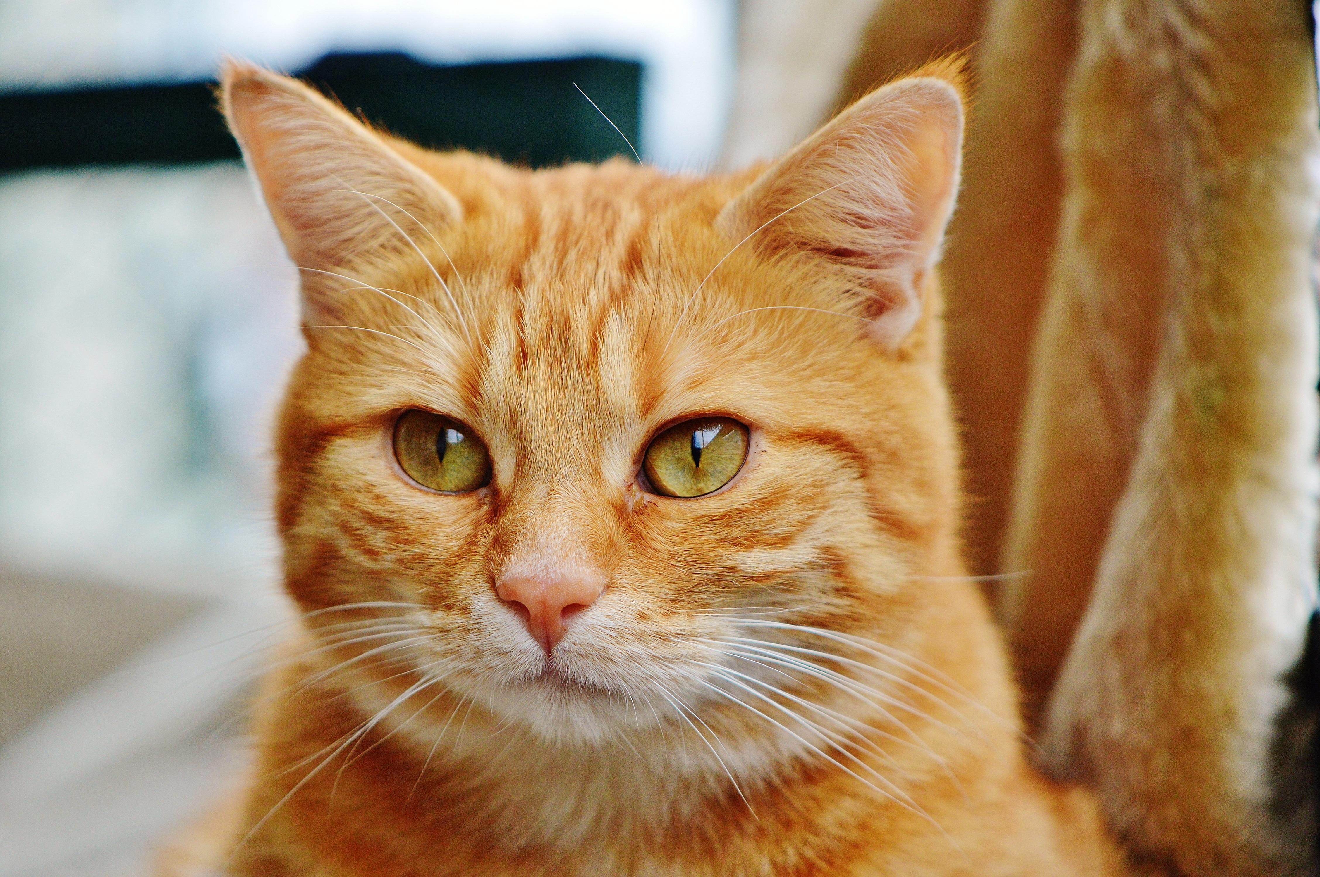 Darmowe Zdjęcia Słodkie Uroczy Zwierzę Domowe Futro Kotek
