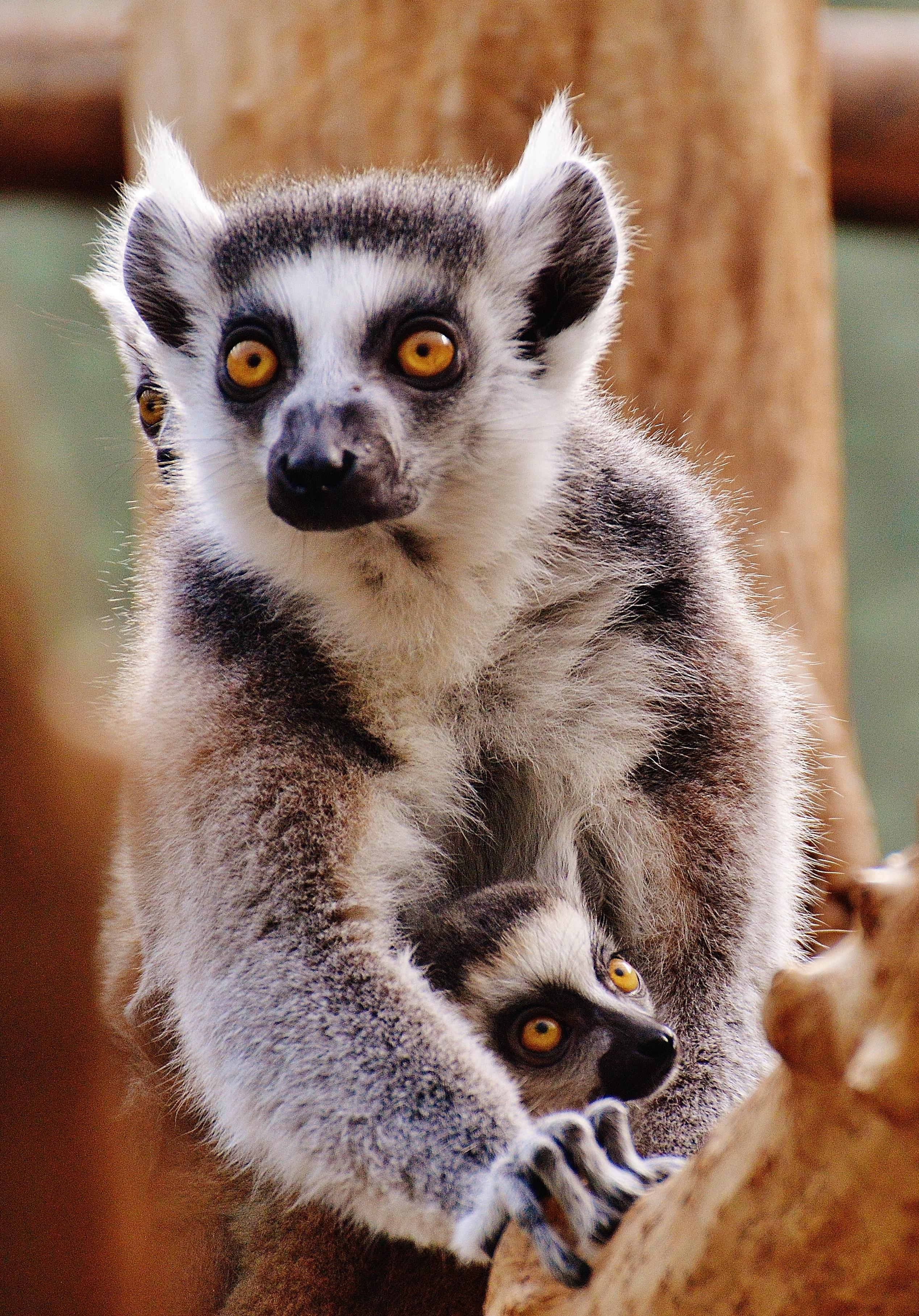 Fotoğraf Tatlı Sevimli Vahşi Hayat Hayvanat Bahçesi Memeli