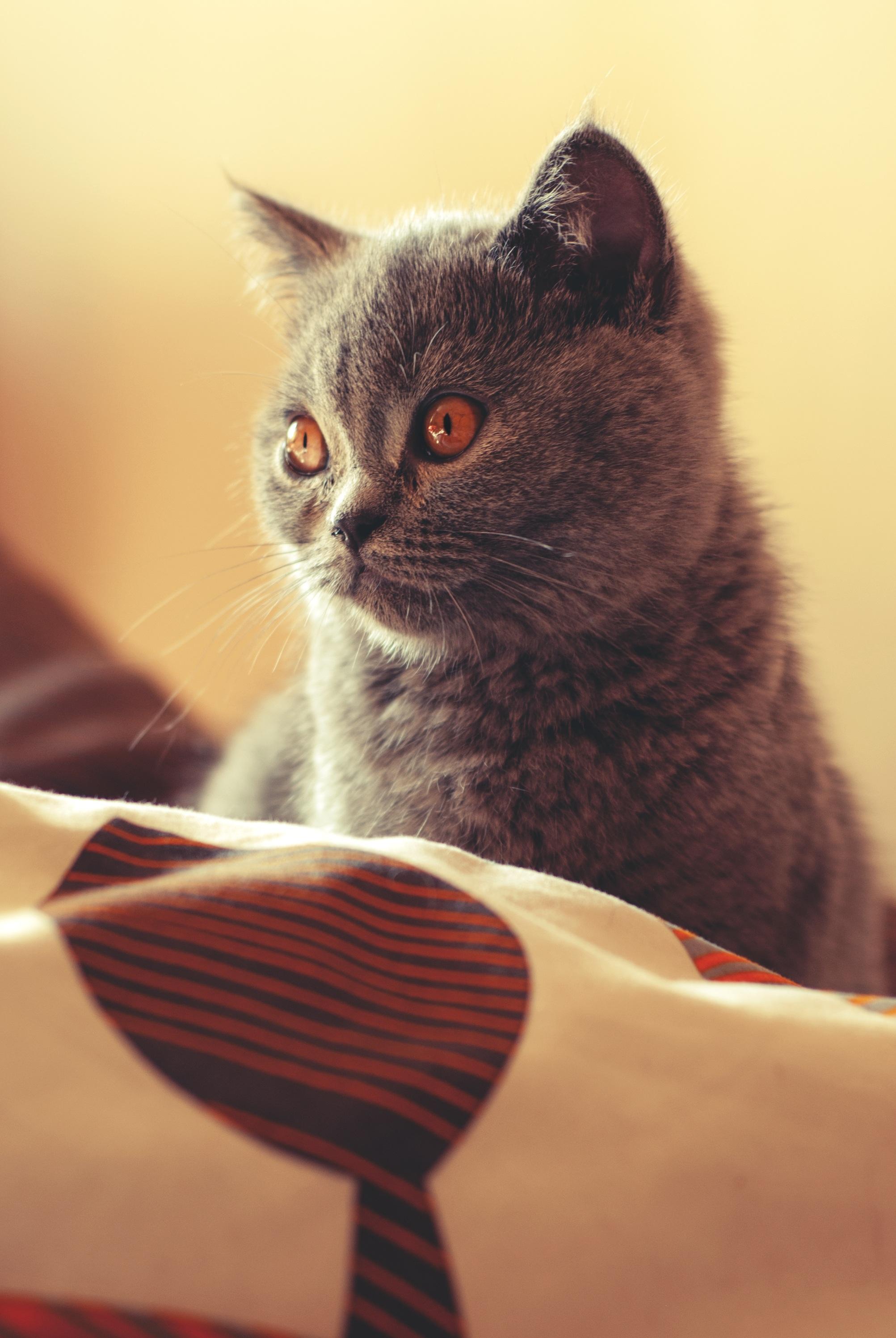 Britská Veľká mačička ako mám análny sex