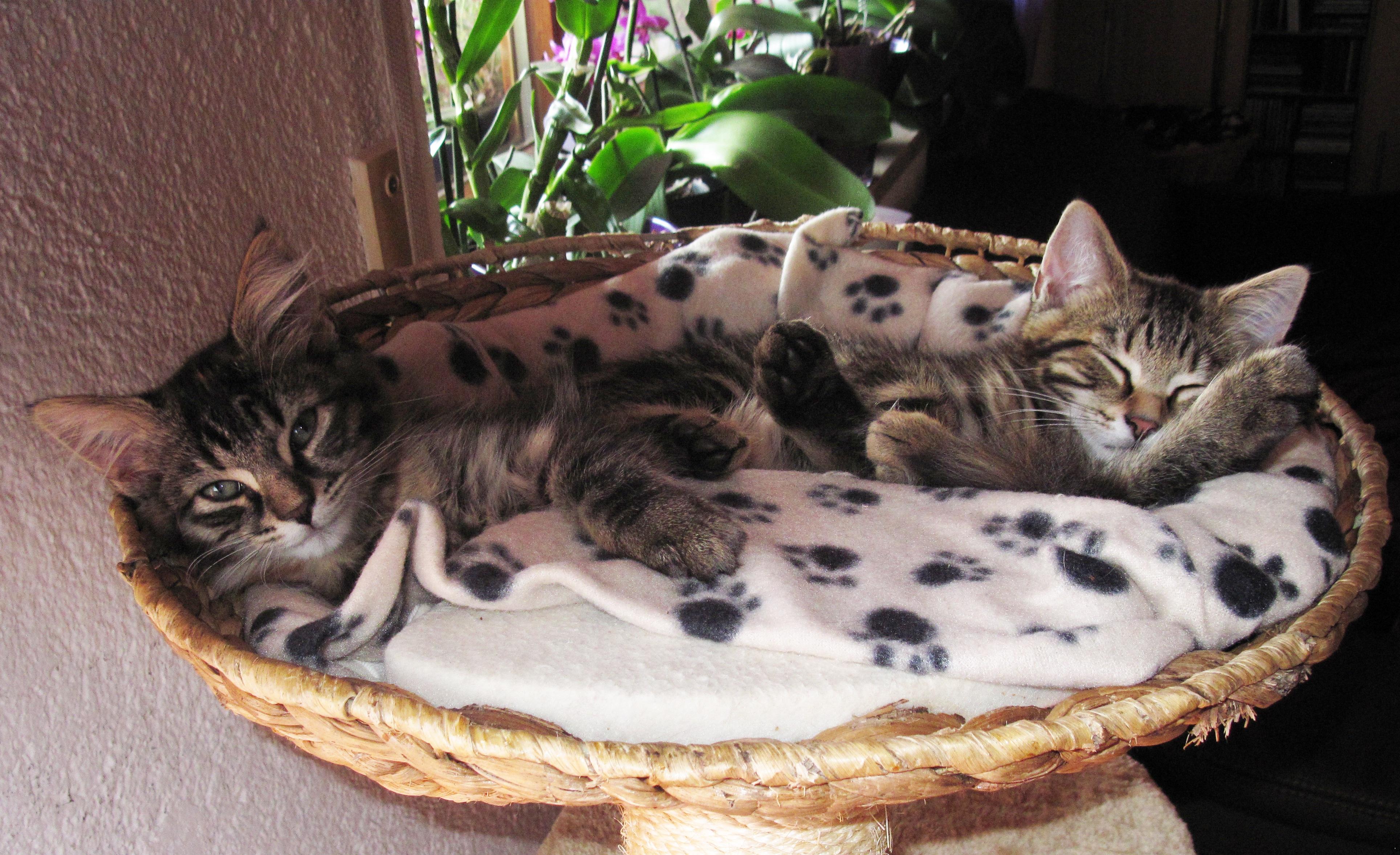 Free sweet cute kitten sleeping whiskers vertebrate