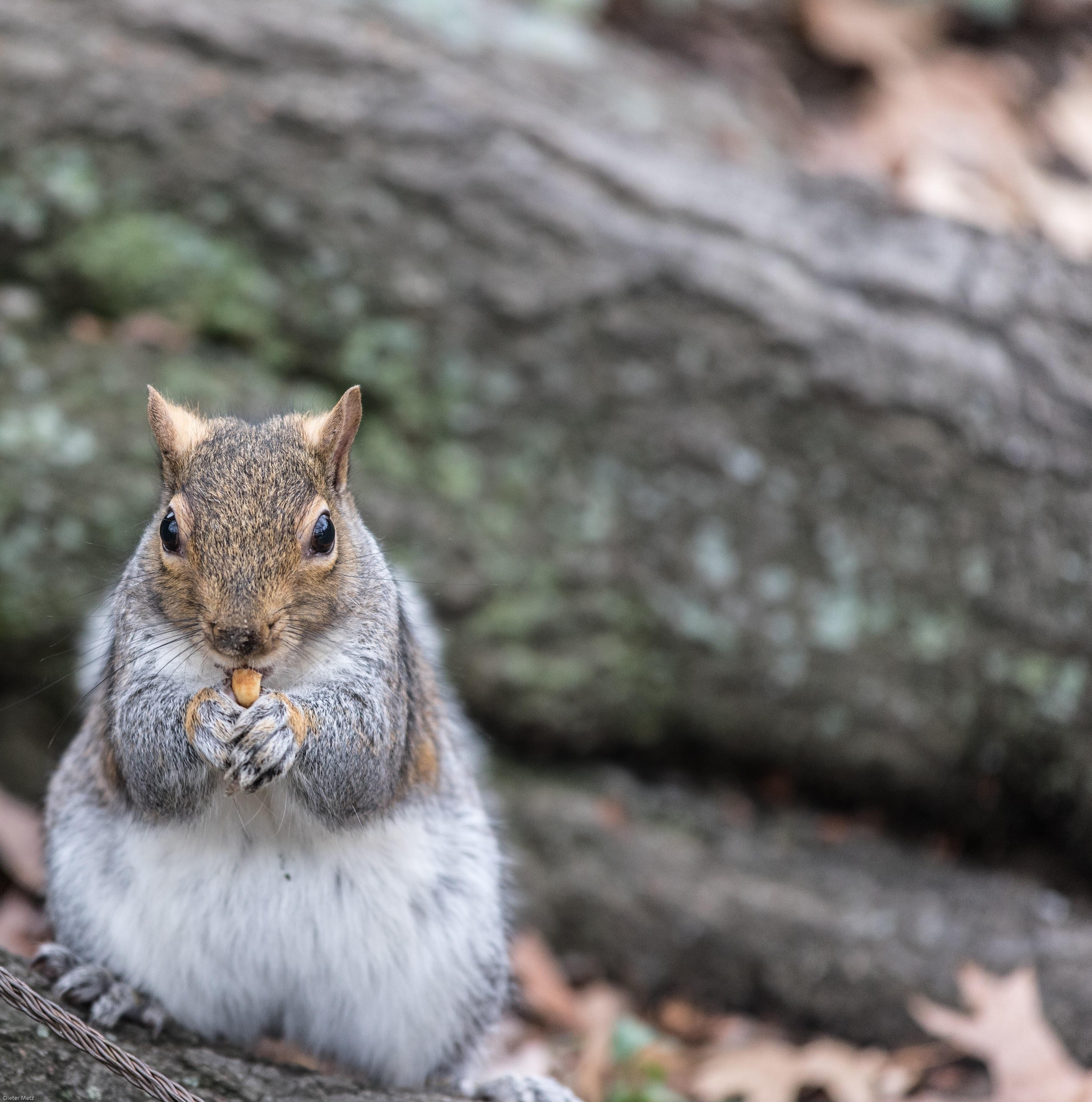 free images sweet cute wildlife fur fluffy mammal squirrel