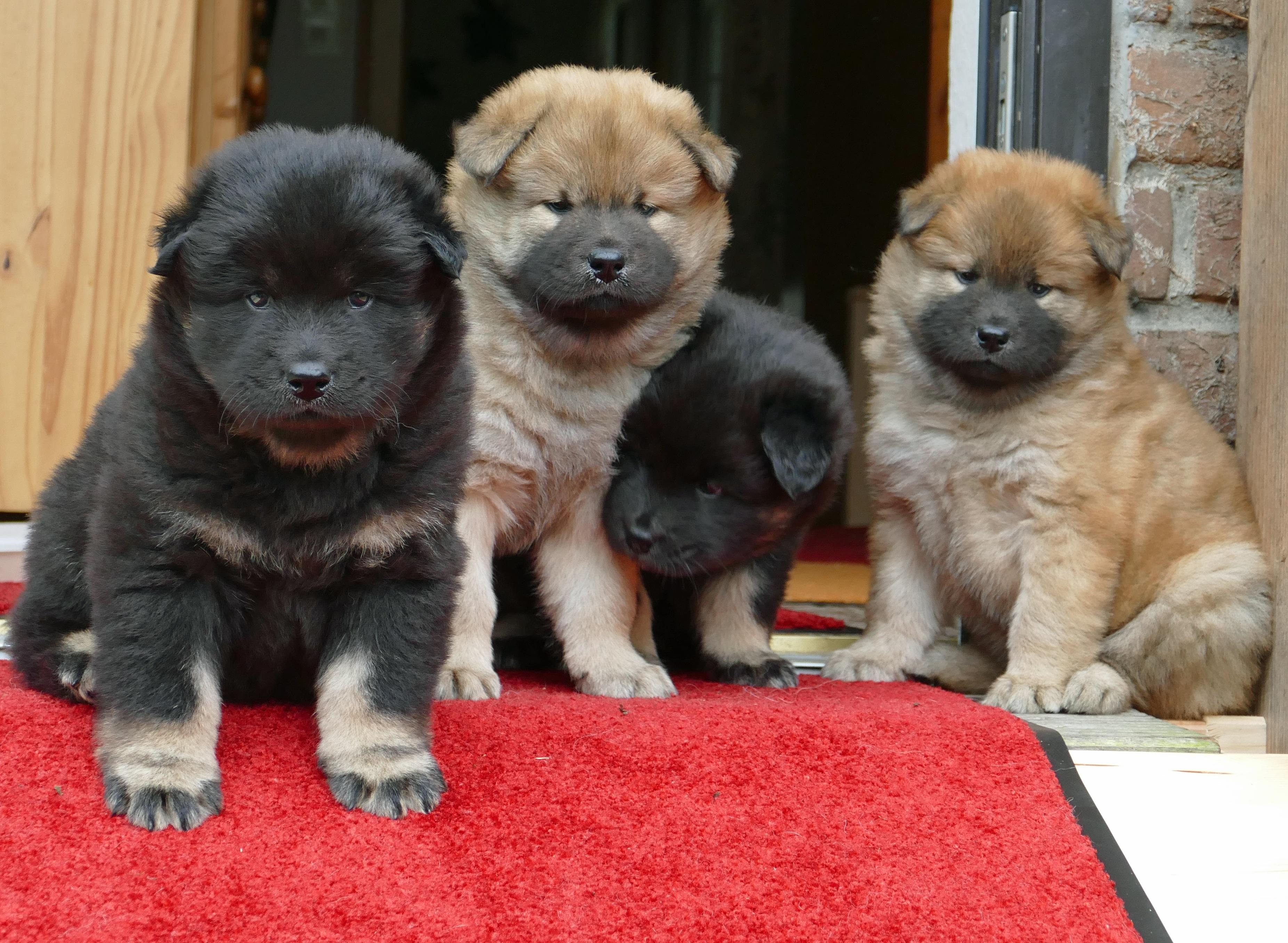 A Akita Dog Free Images : sweet, c...