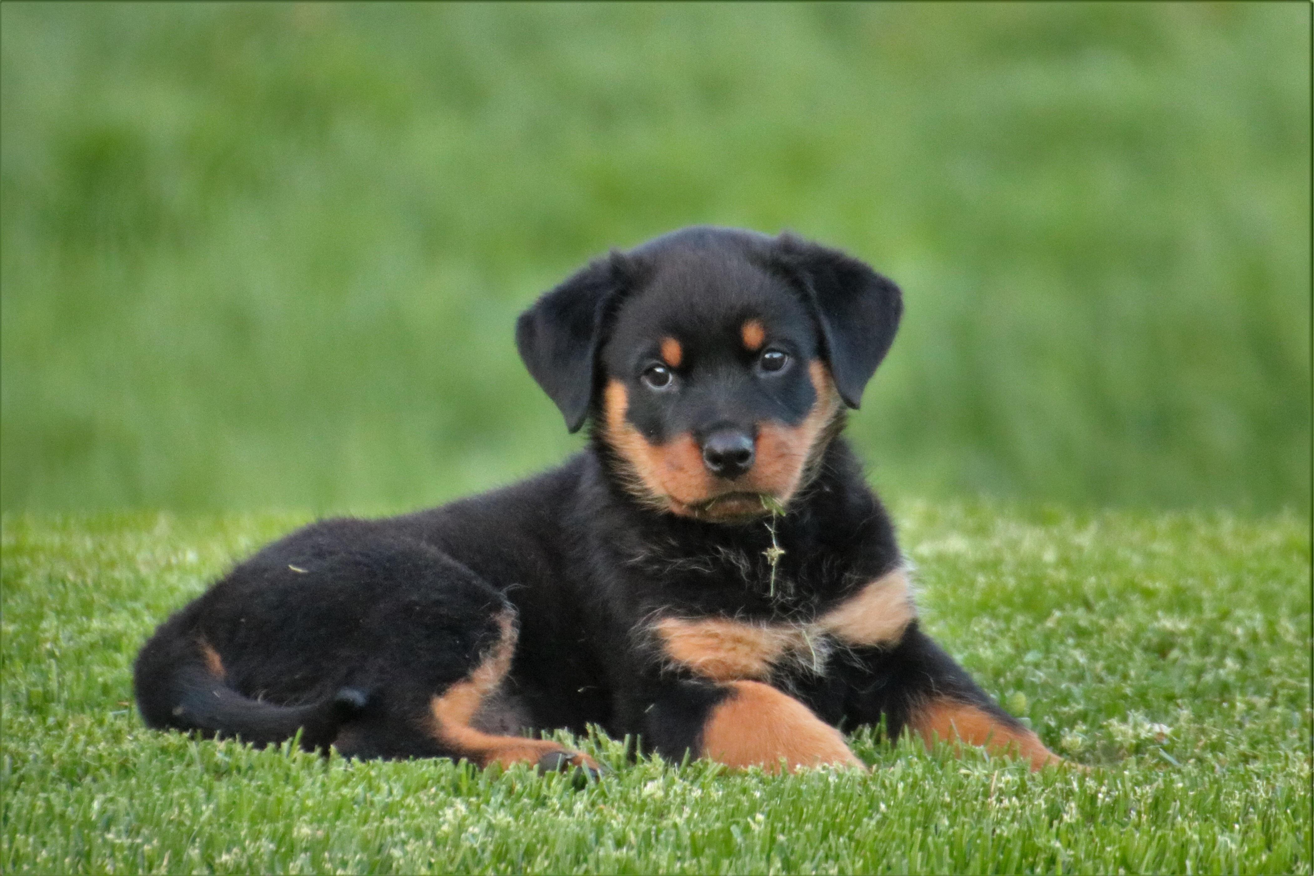Huntaway Dog Breed