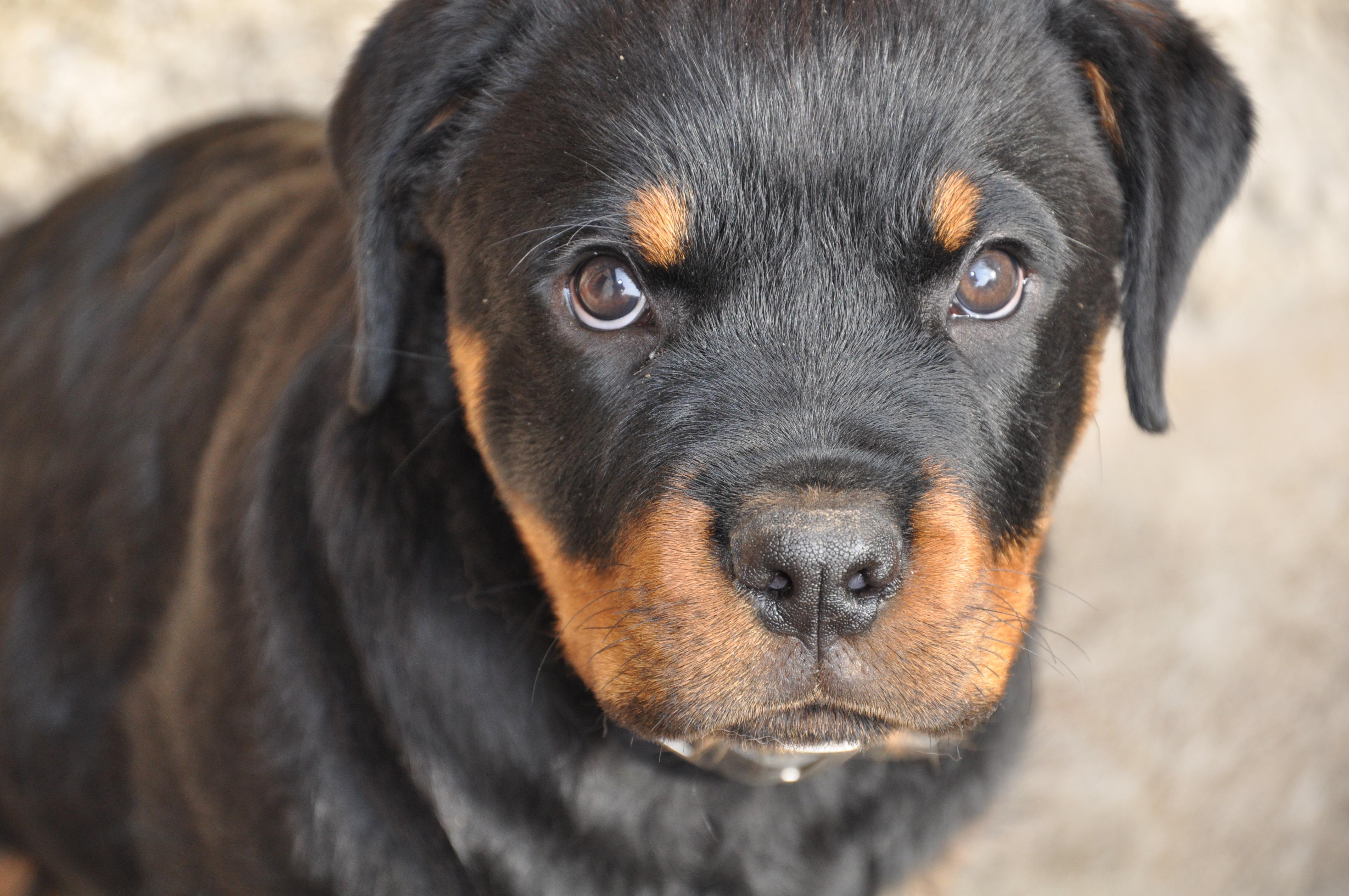 rottweiler dog images - HD4288×2848