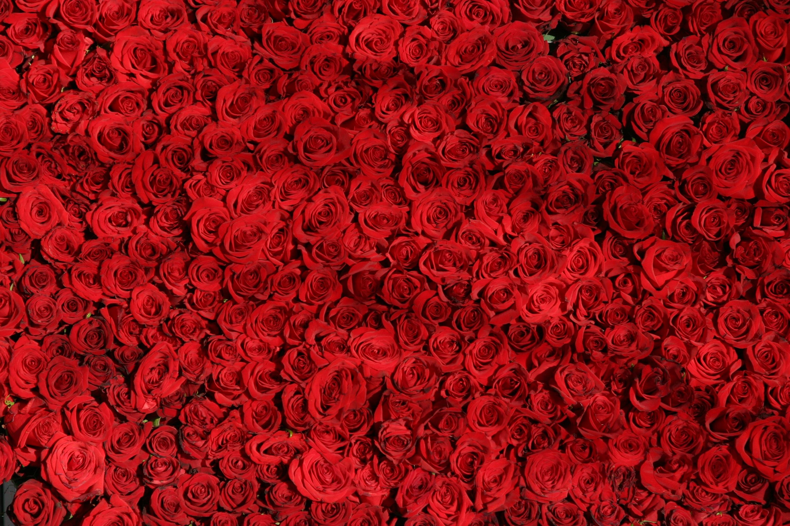 free images : texture, flower, petal, heart, rose, pattern, line