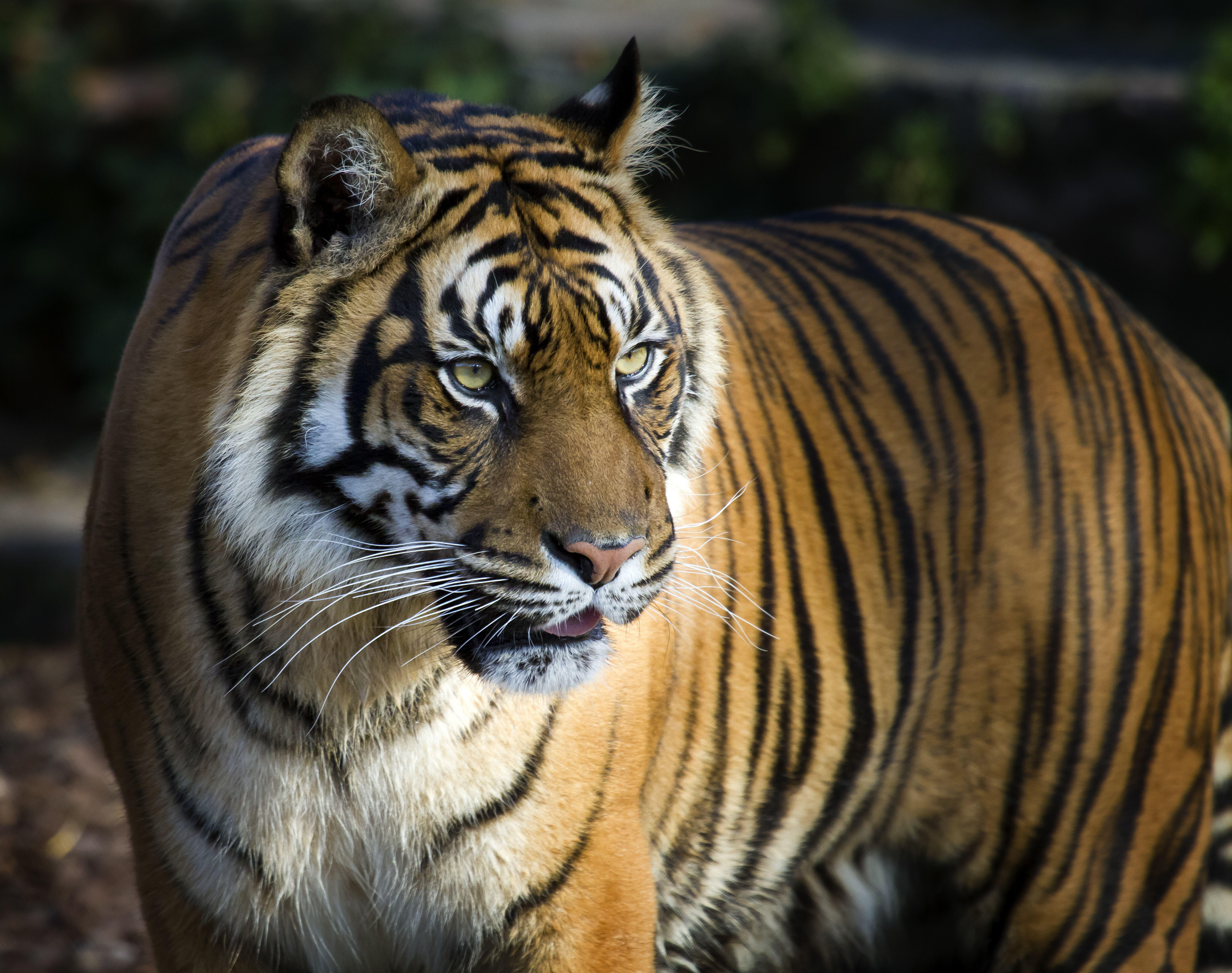 Gambar Harimau Margasatwa Hewan Darat Binatang Menyusui