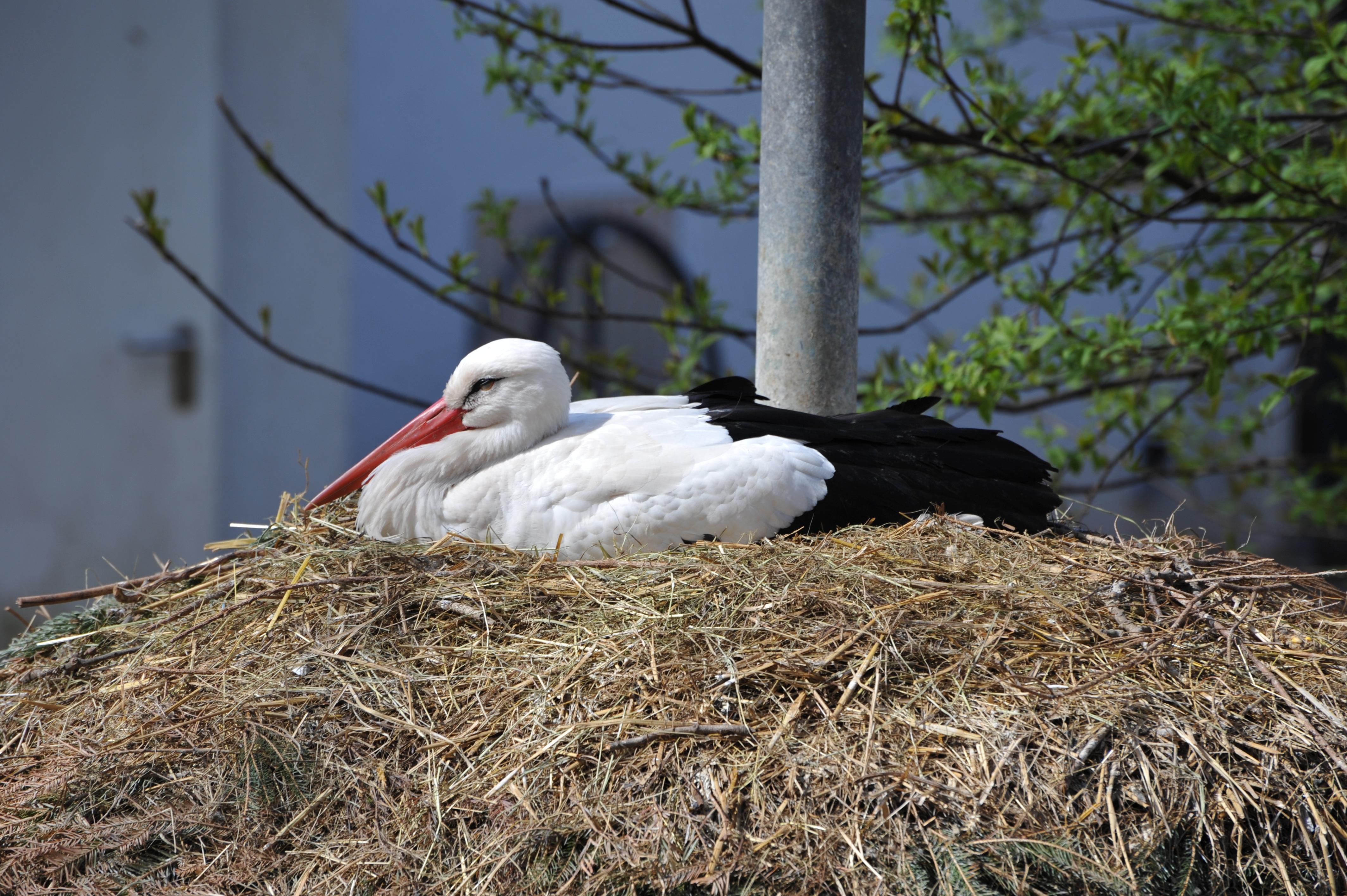kostenlose foto baum vogel zoo schnabel storch vogelnest nest ruheplatz wei storch. Black Bedroom Furniture Sets. Home Design Ideas
