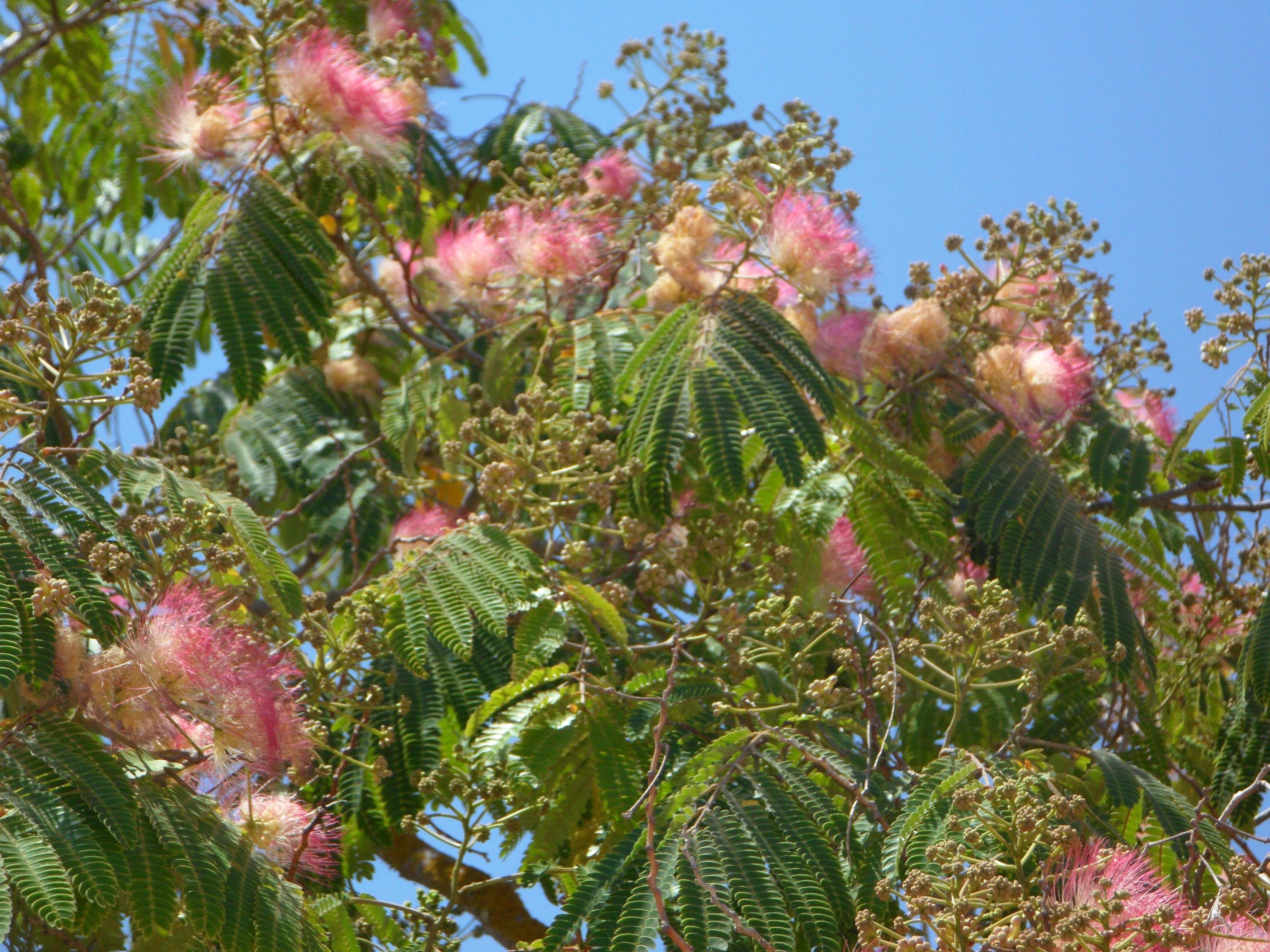 Free images tree blossom flower bloom bush mediterranean tree blossom plant flower bloom bush mediterranean botany garden pink flora flowers shrub ornamental shrub mimosa mightylinksfo