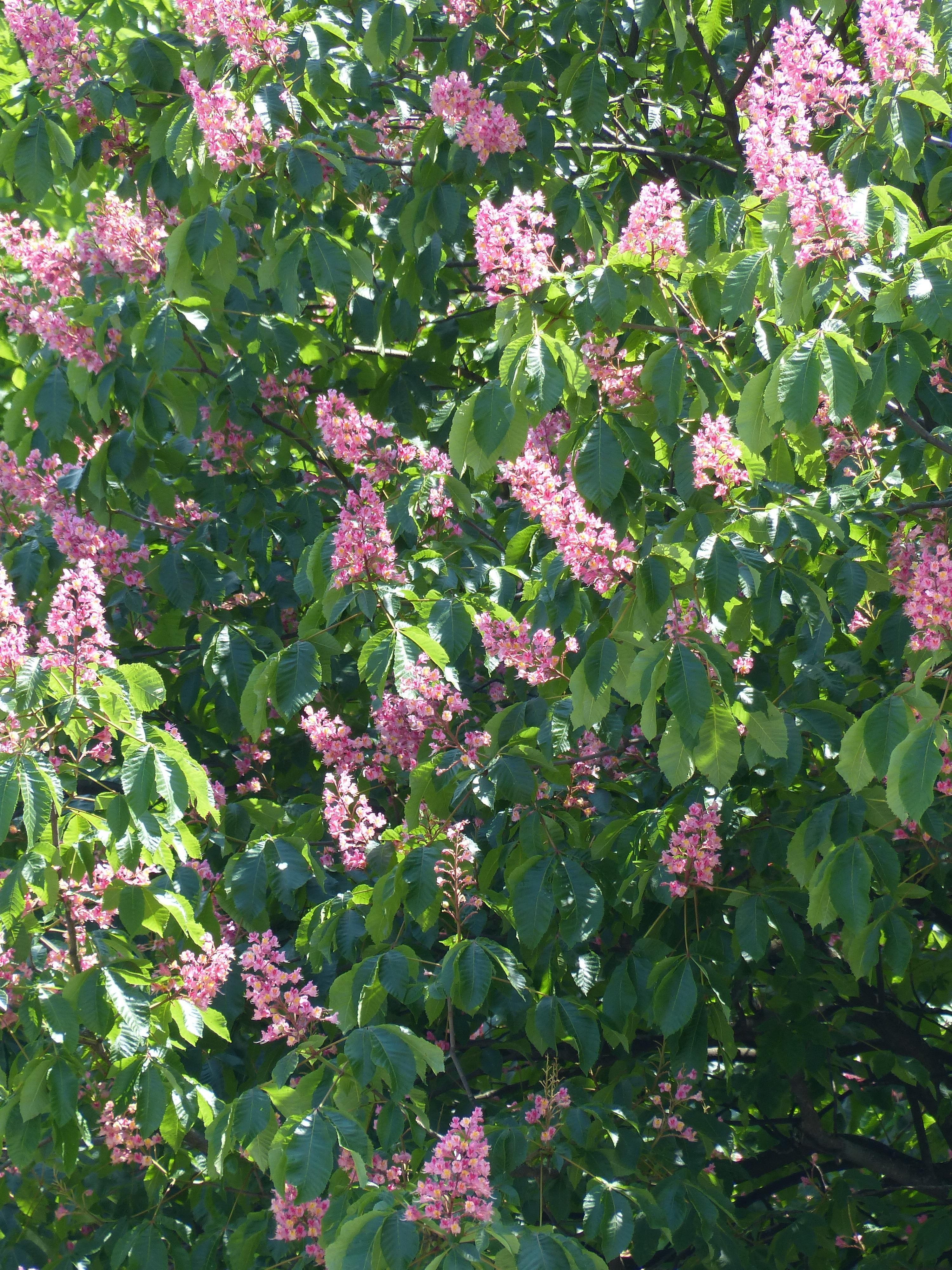 images gratuites : arbre, fleur, floraison, herbe, botanique, jardin