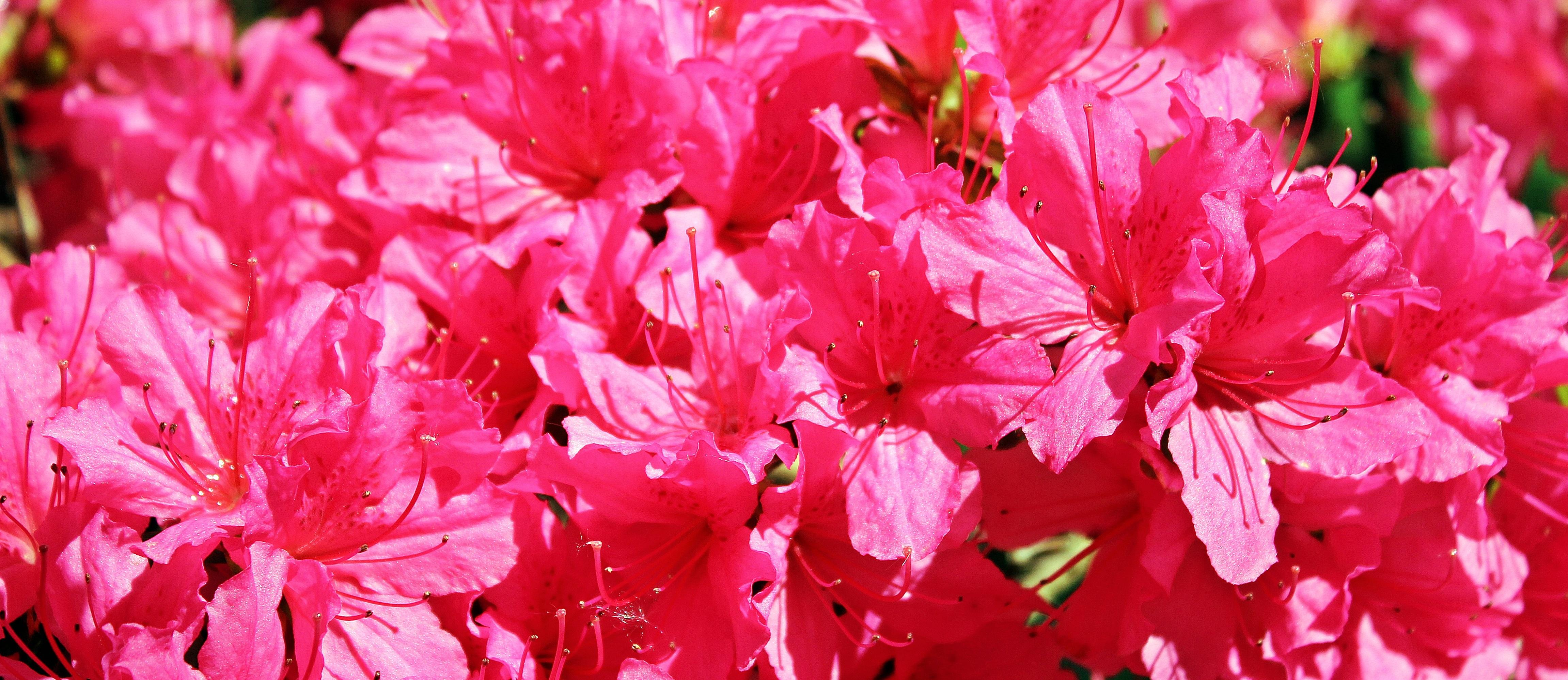 Free Images Tree Blossom Flower Petal Summer Bush