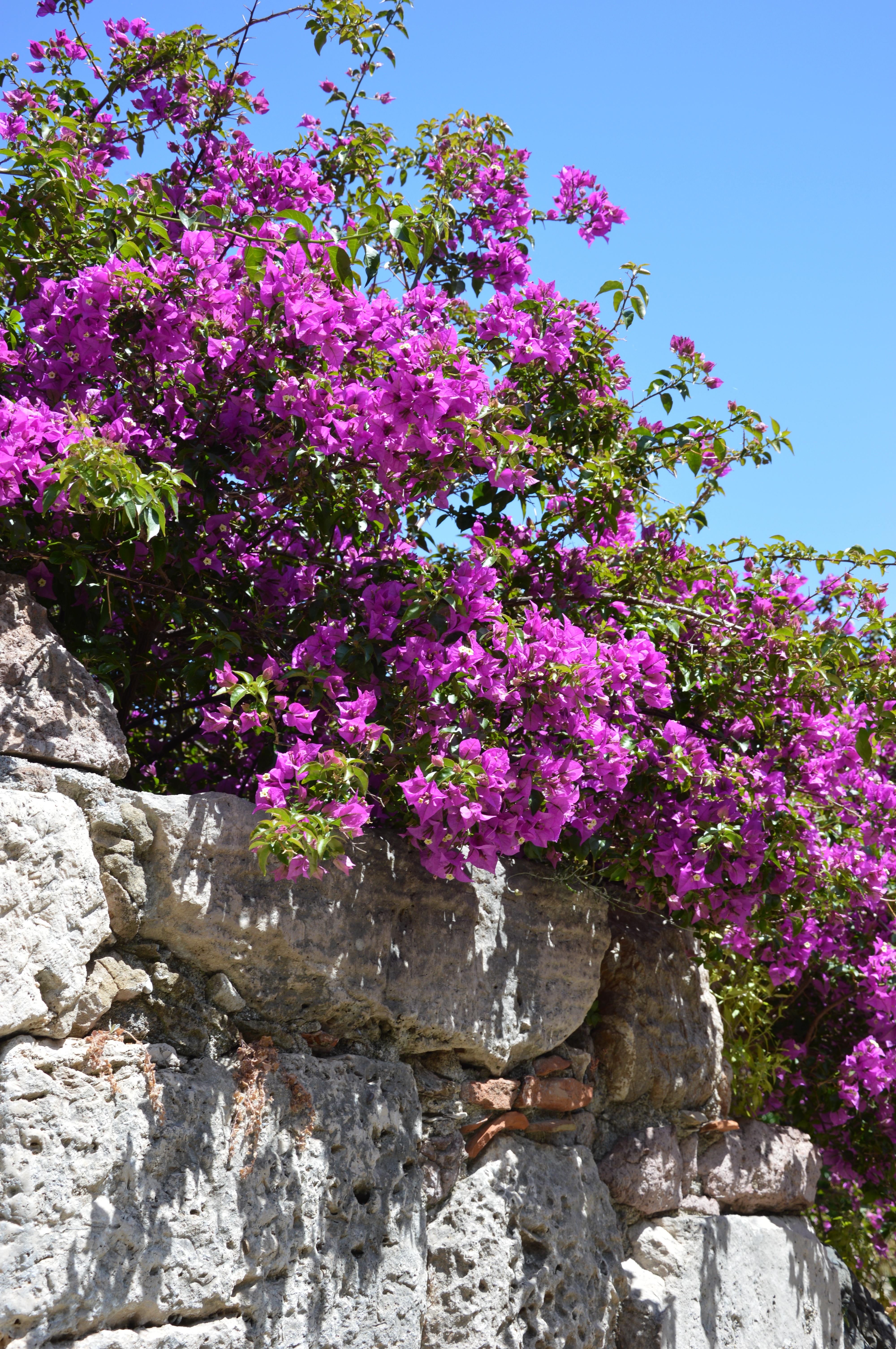 images gratuites : arbre, fleur, violet, botanique, jardin, flore