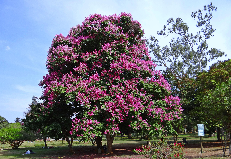 images gratuites arbre fleur violet printemps parc botanique jardin flore arbuste. Black Bedroom Furniture Sets. Home Design Ideas